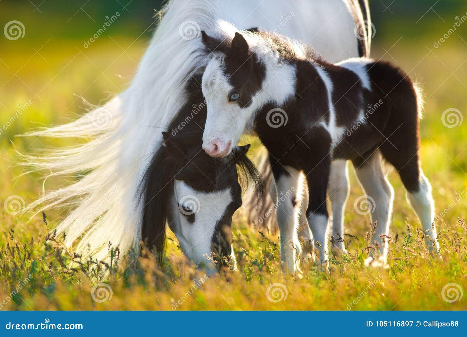 De poney van Shetland met veulen