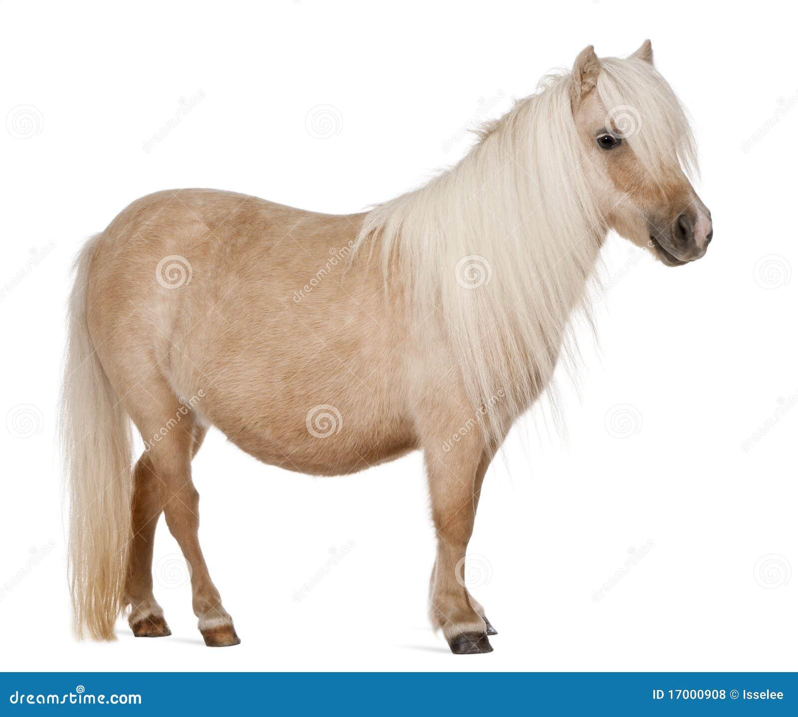 De poney van Shetland van Palomino, caballus Equus