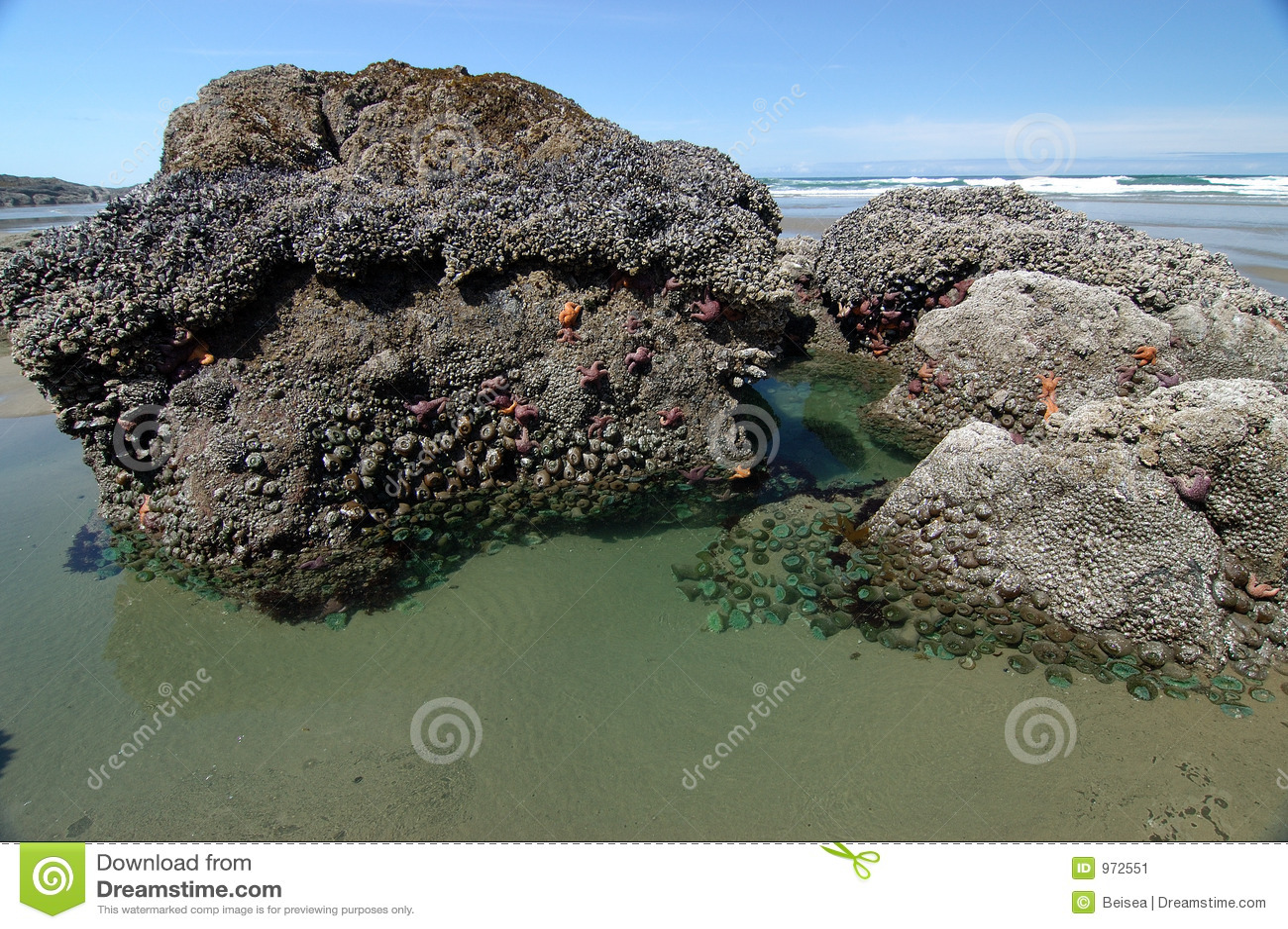 De Pool van het getijde met Zeeanemonen