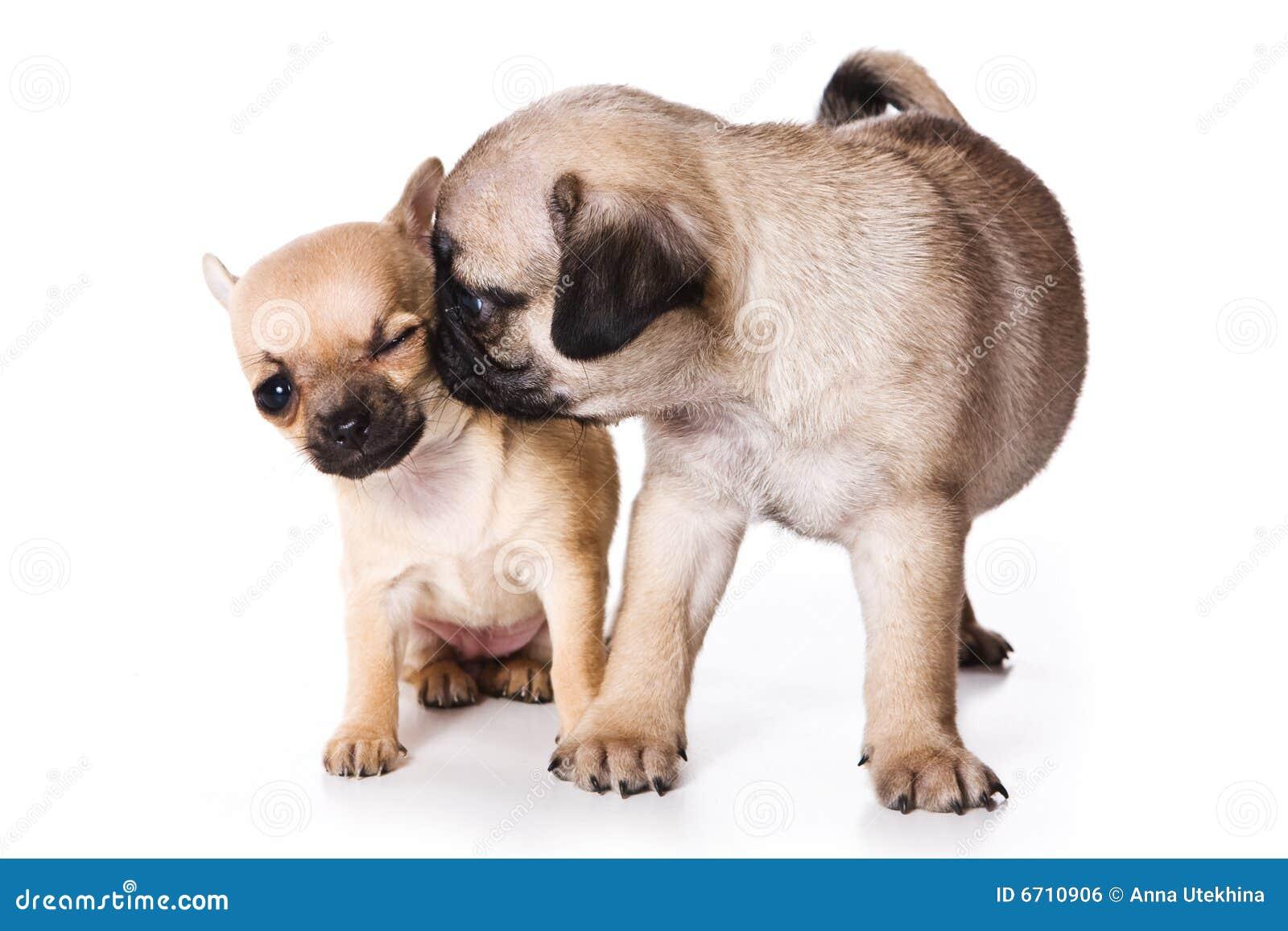 De puppy van Chihuahua en pug