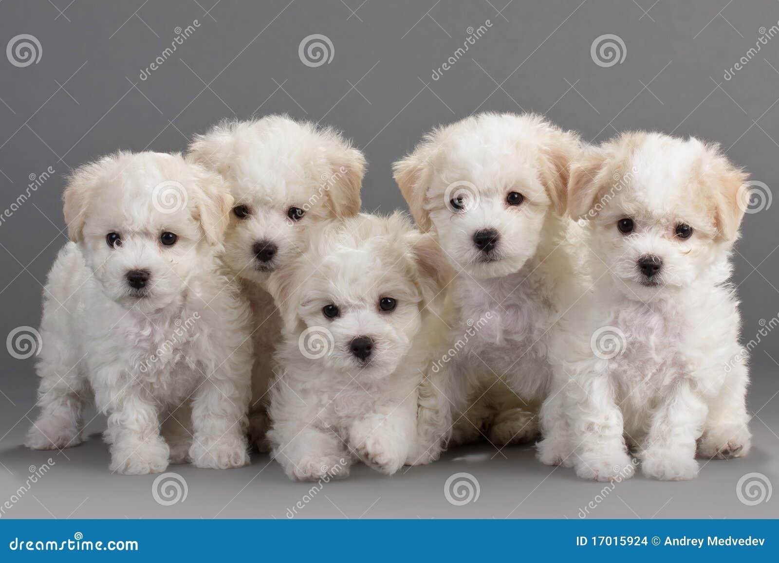 De puppy van Frise van Bichon