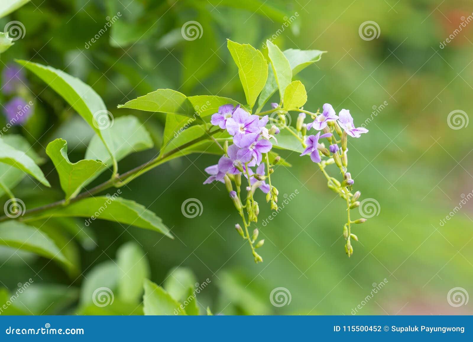 De purpere bloem op groen doorbladert Dit schoot gevangen bij Koning Rama 9de Pak in Bangkok Thailand