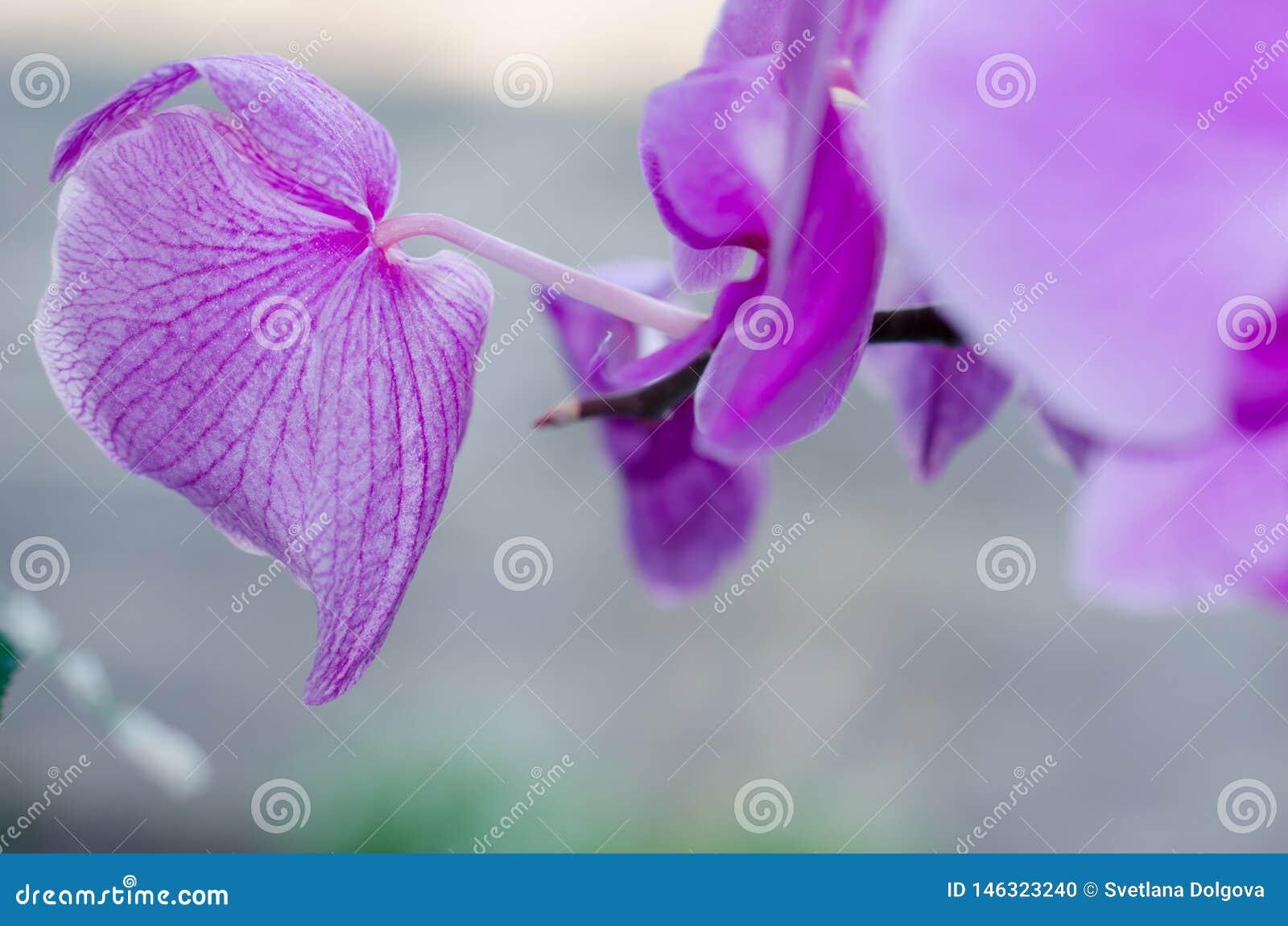 De purpere bloesemorchidee bloeit achtergrond