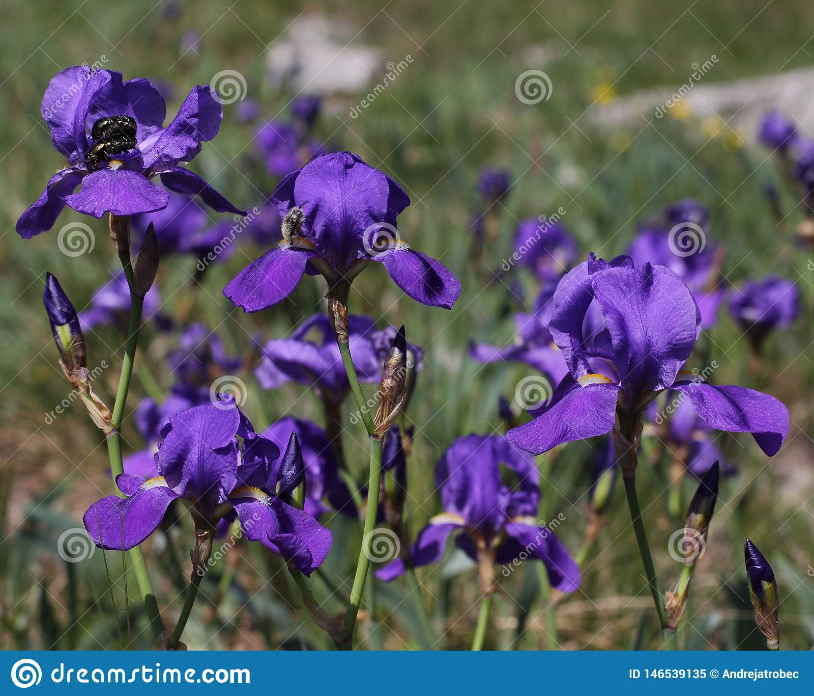 De purpere Illyrian-iris bloeit - Latijnse naam - Irisillyrica in aardkarst gebied