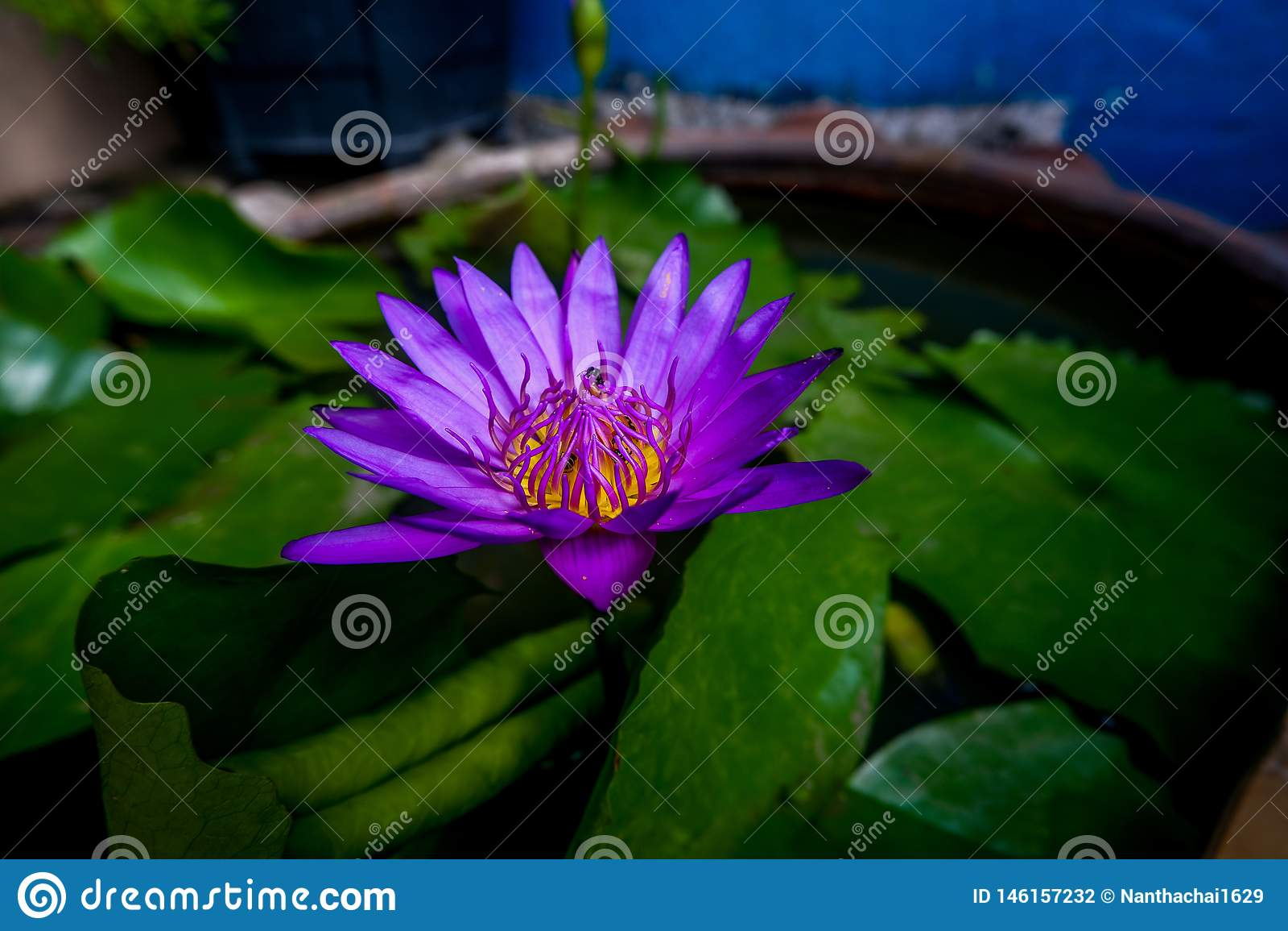 De purpere lotusbloem heeft bijen in de lotusbloembloem
