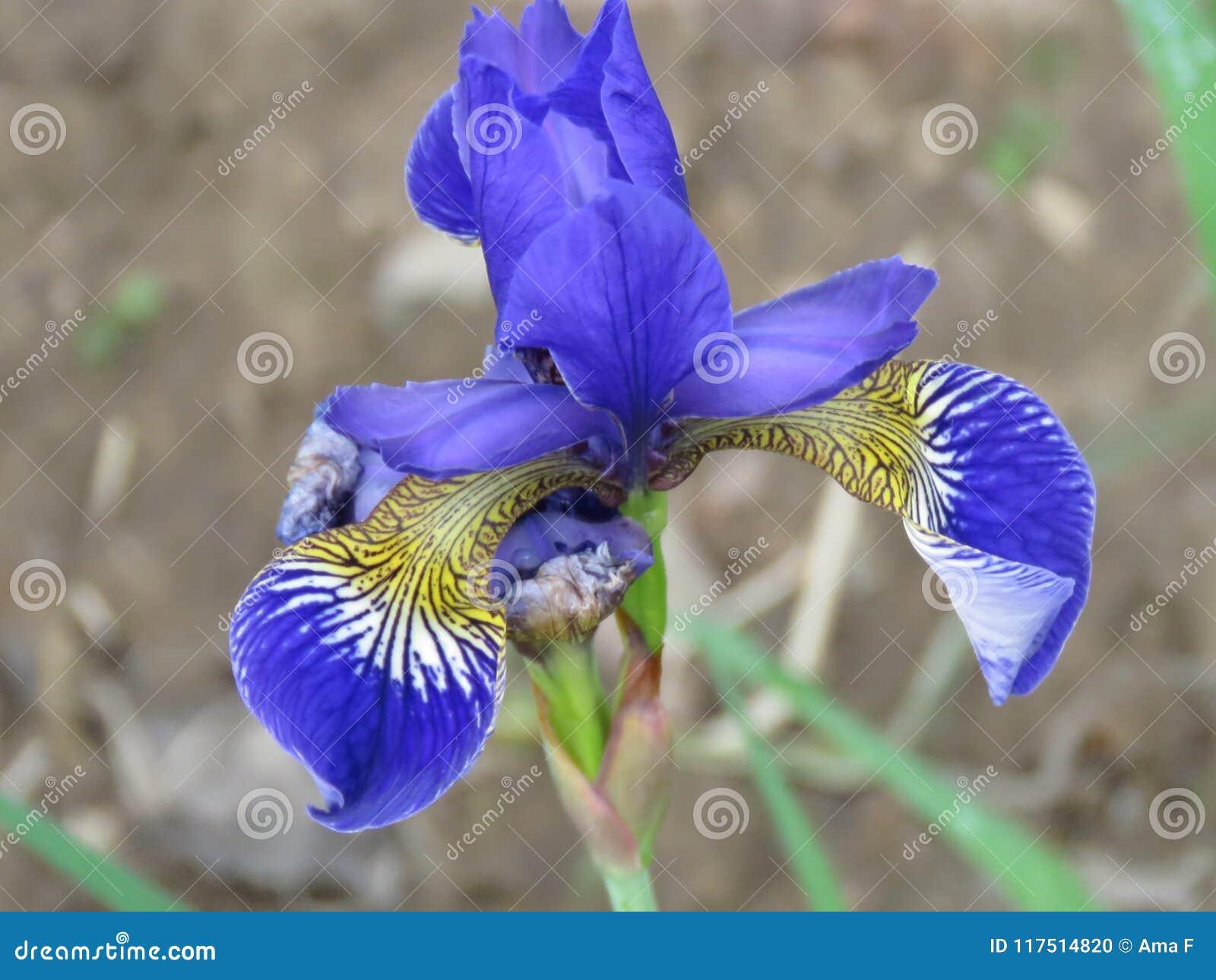 De purpere Siberische Iris Iris-sibiricabloem, sluit omhoog mening