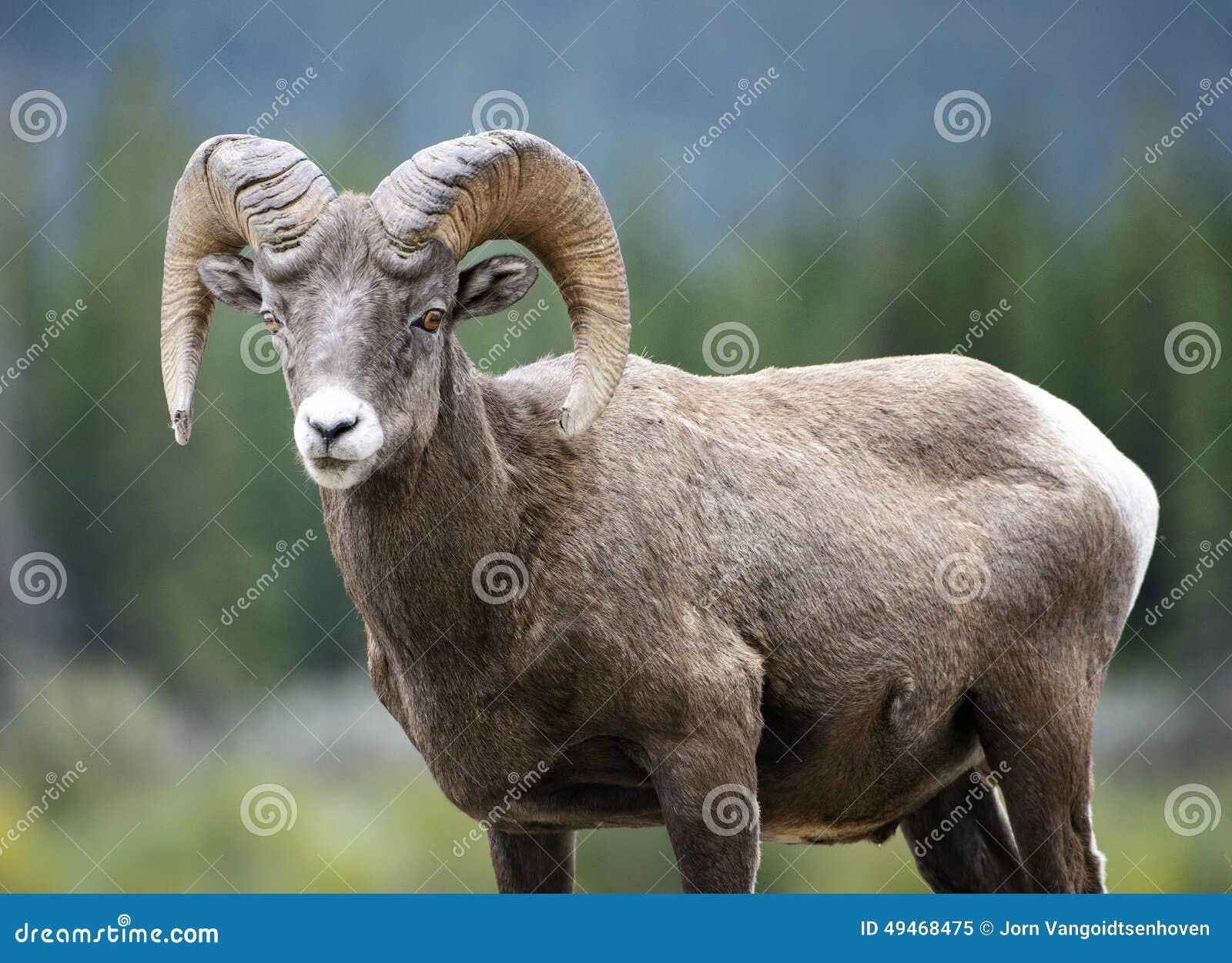 De Ram van Bighornschapen