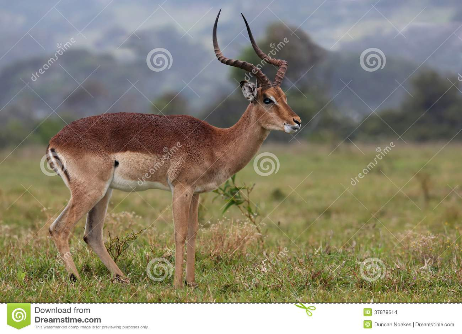 De Ram van de impalaantilope