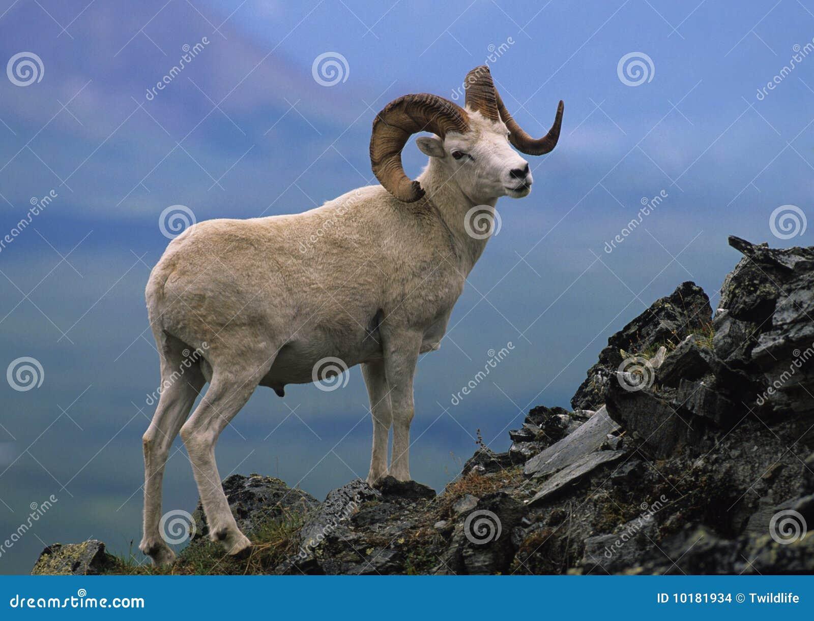 De Ram van de Schapen van Dall