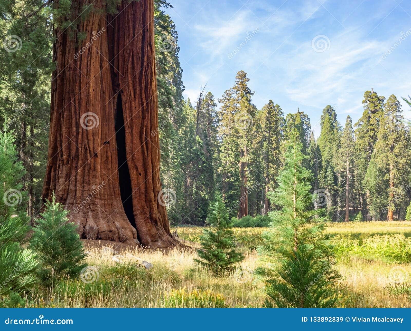 De randweide van sequoiabomen
