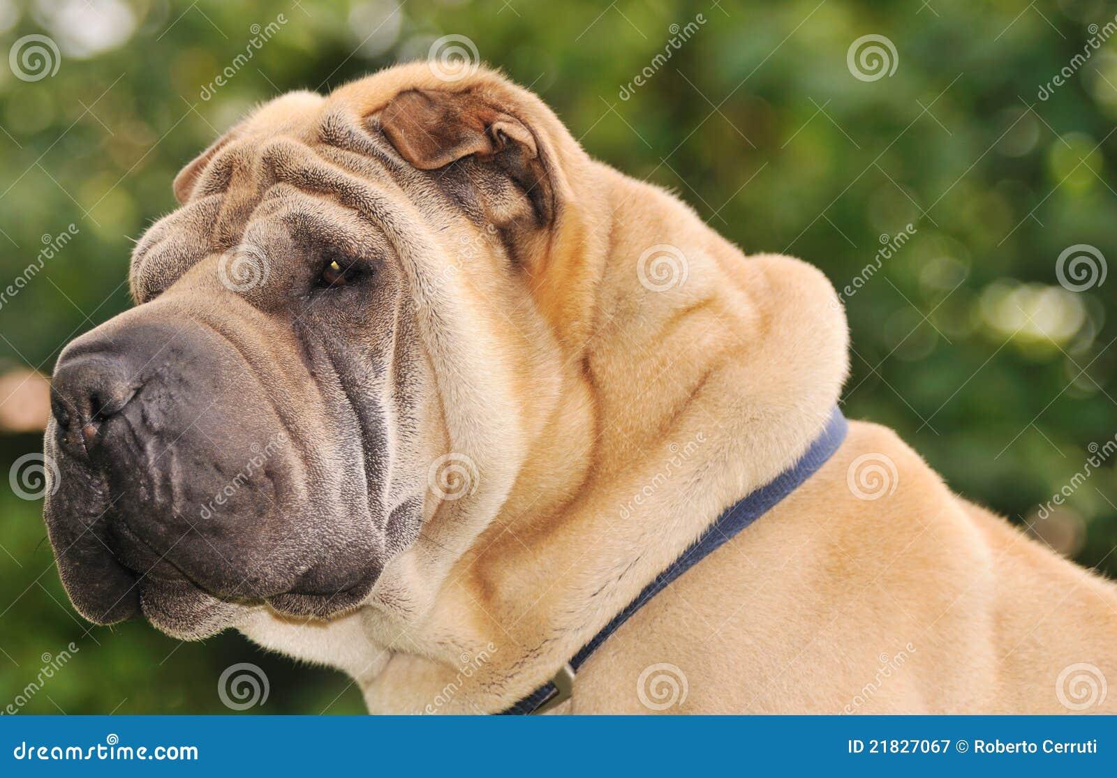rimpel hond