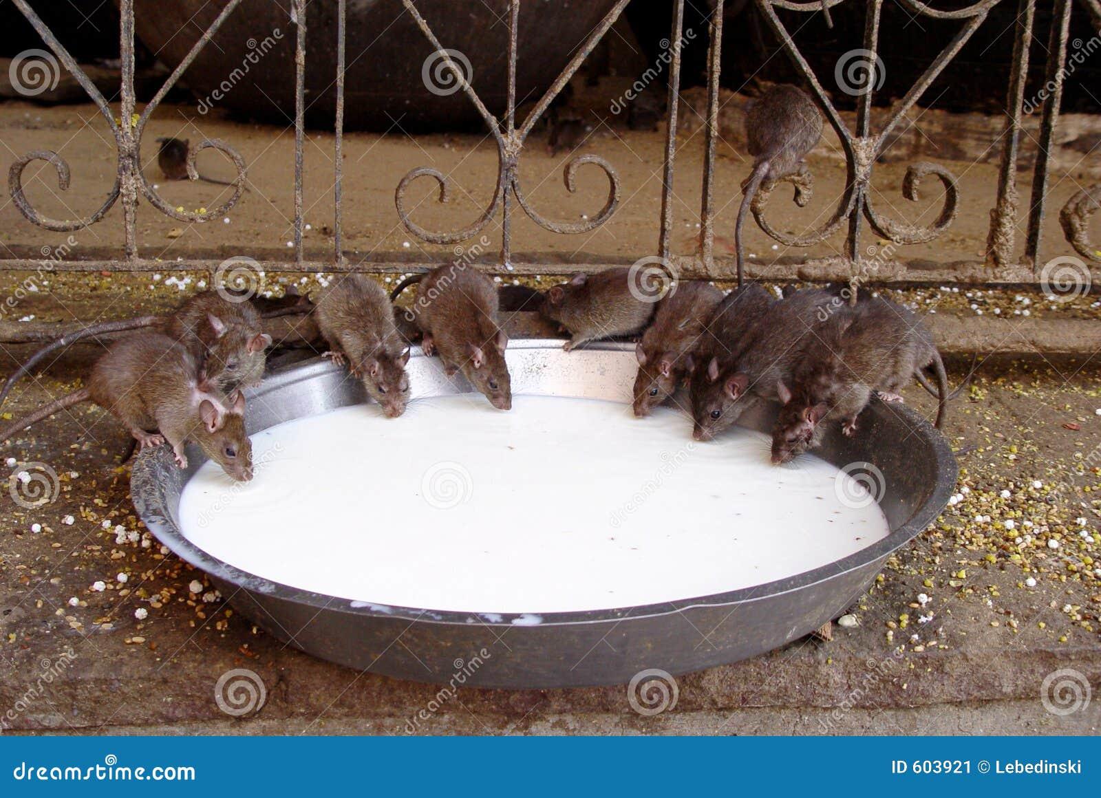 De Ratten van de tempel