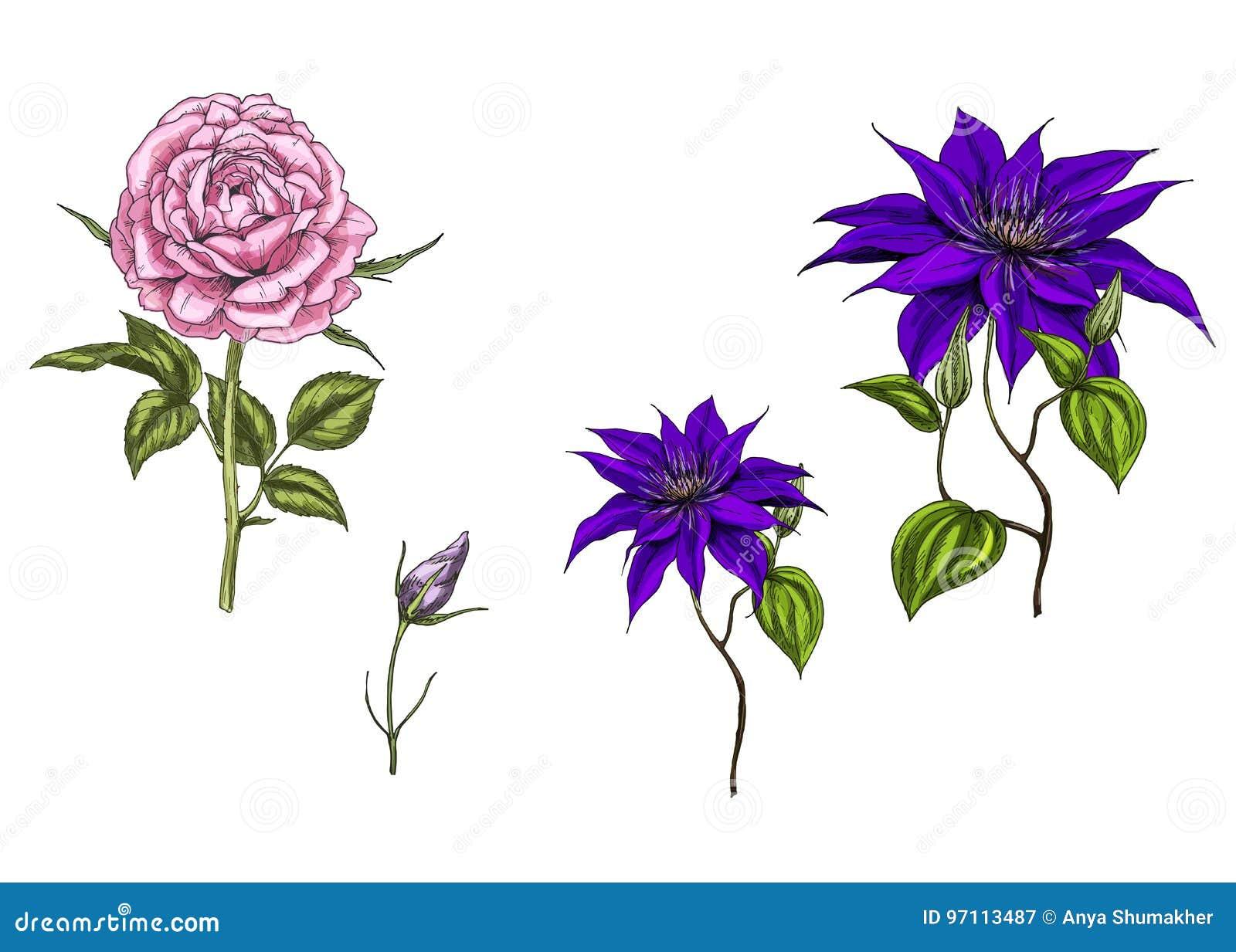 De reeks met clematissen en nam bloemen, bladeren, knop en stammen op witte achtergrond toe Botanische illustratie