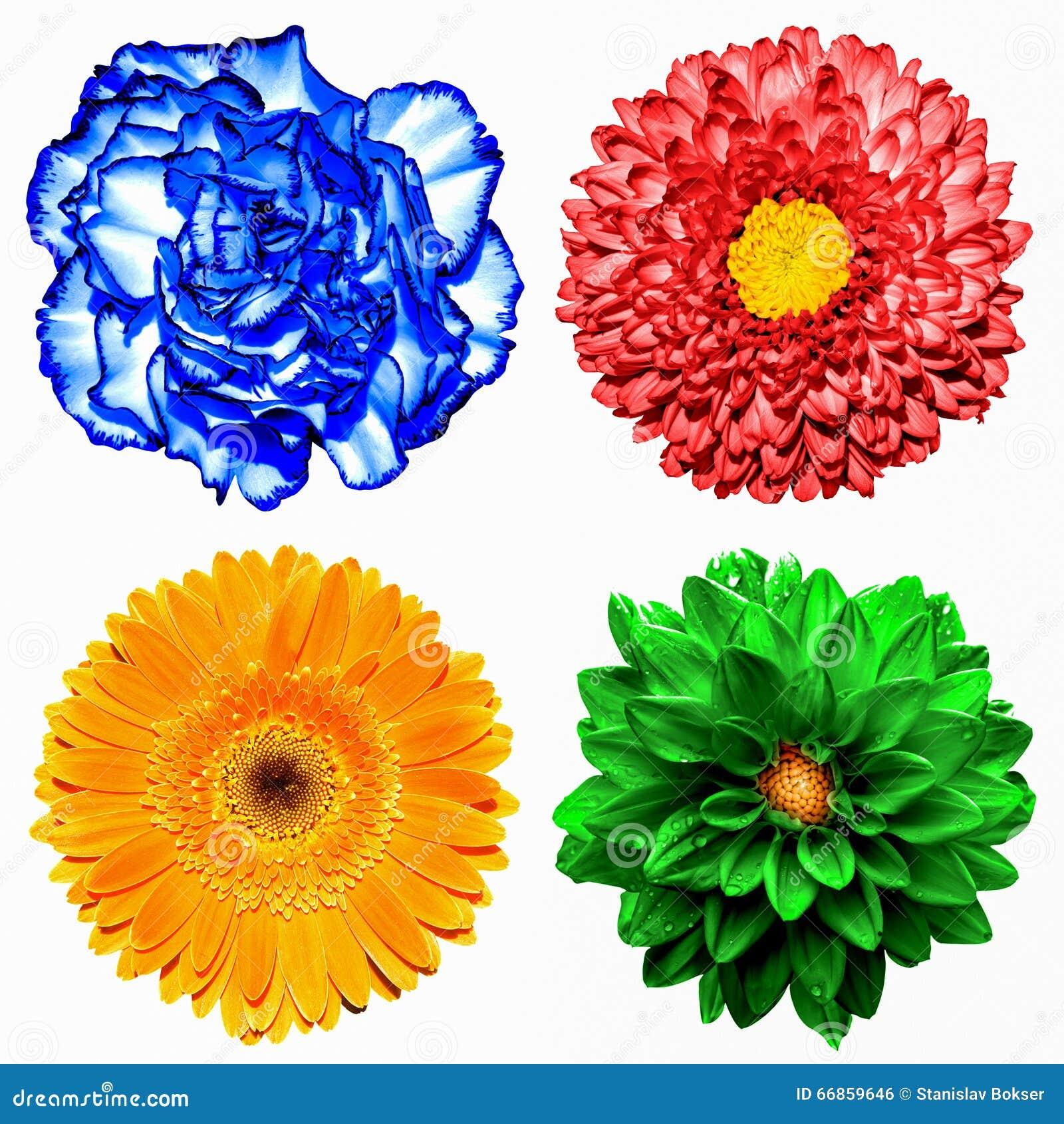 De reeks van 4 in 1 bloeit: rode chrysant, oranje gerbera, blauwe kruidnagel en rode geïsoleerde chrysantenbloem