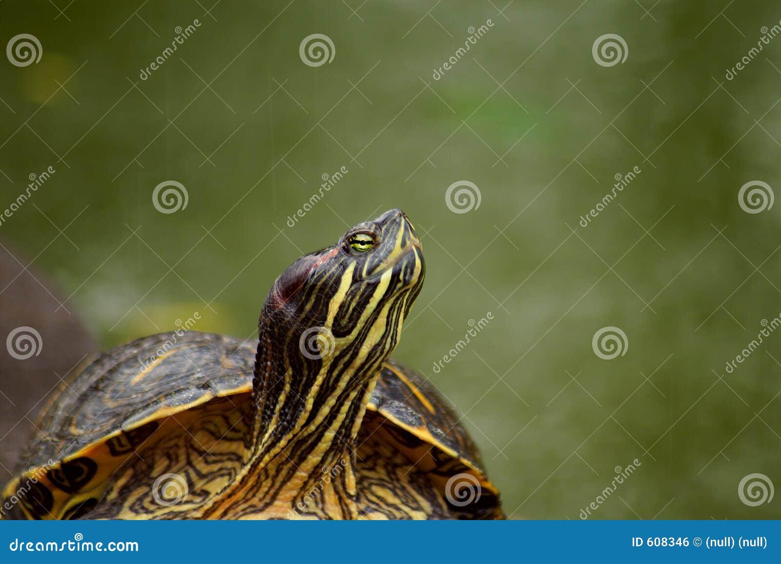 De regen van de schildpad