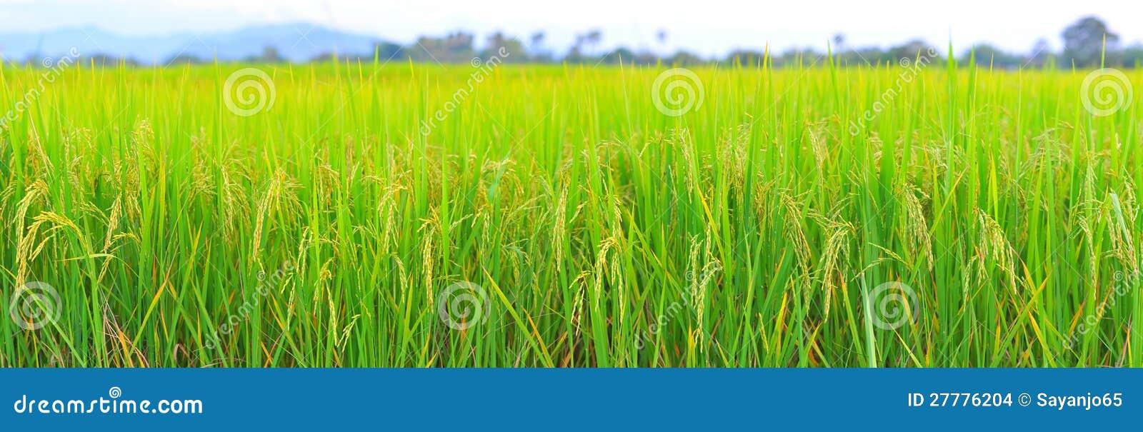 De resolutie van de het panoramahoogte van het padieveld.