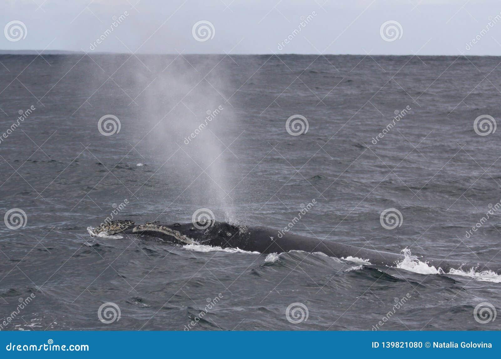 De retour d une natation du sud de baleine droite près de Hermanus, le Cap-Occidental l Afrique du Sud
