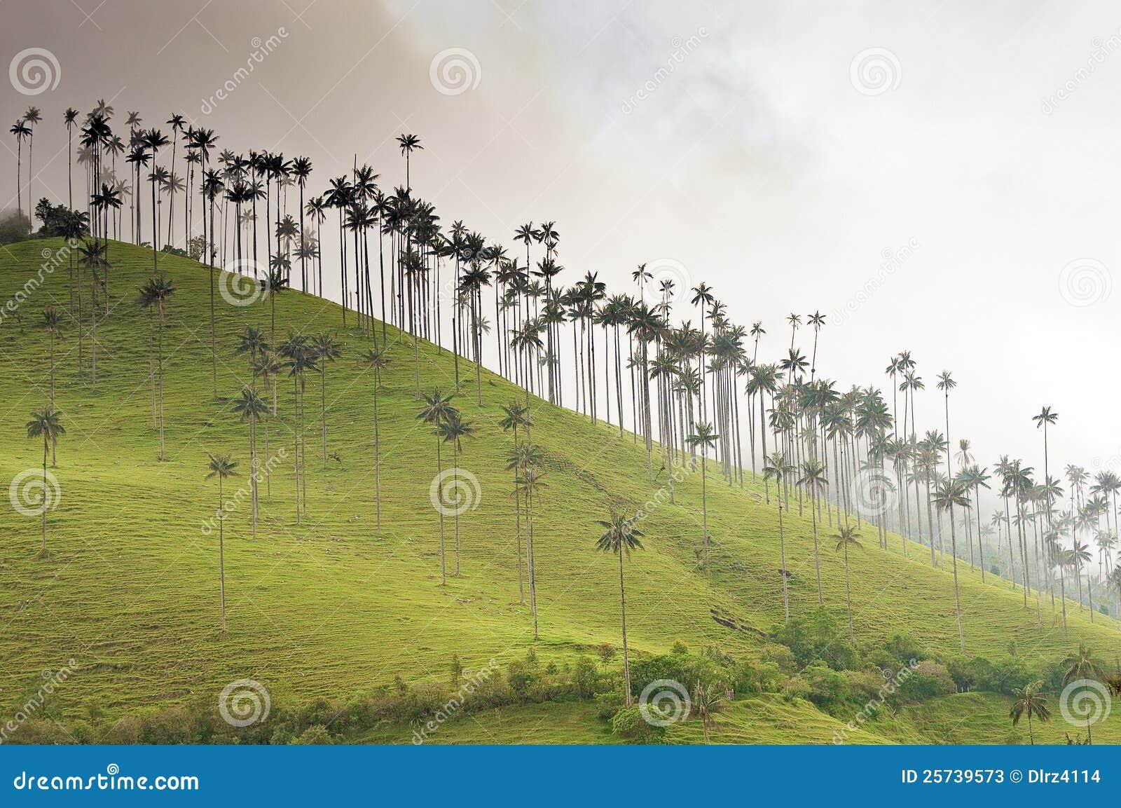 De reuze Palmen van de Was op een Nevelige Heuvel
