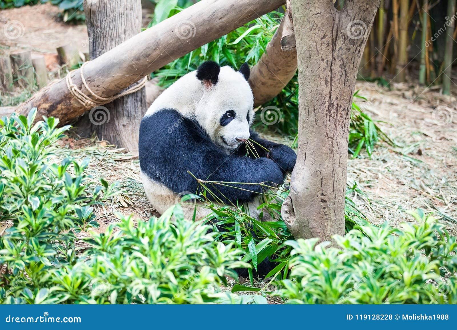 De reuze panda eet groen bamboeblad