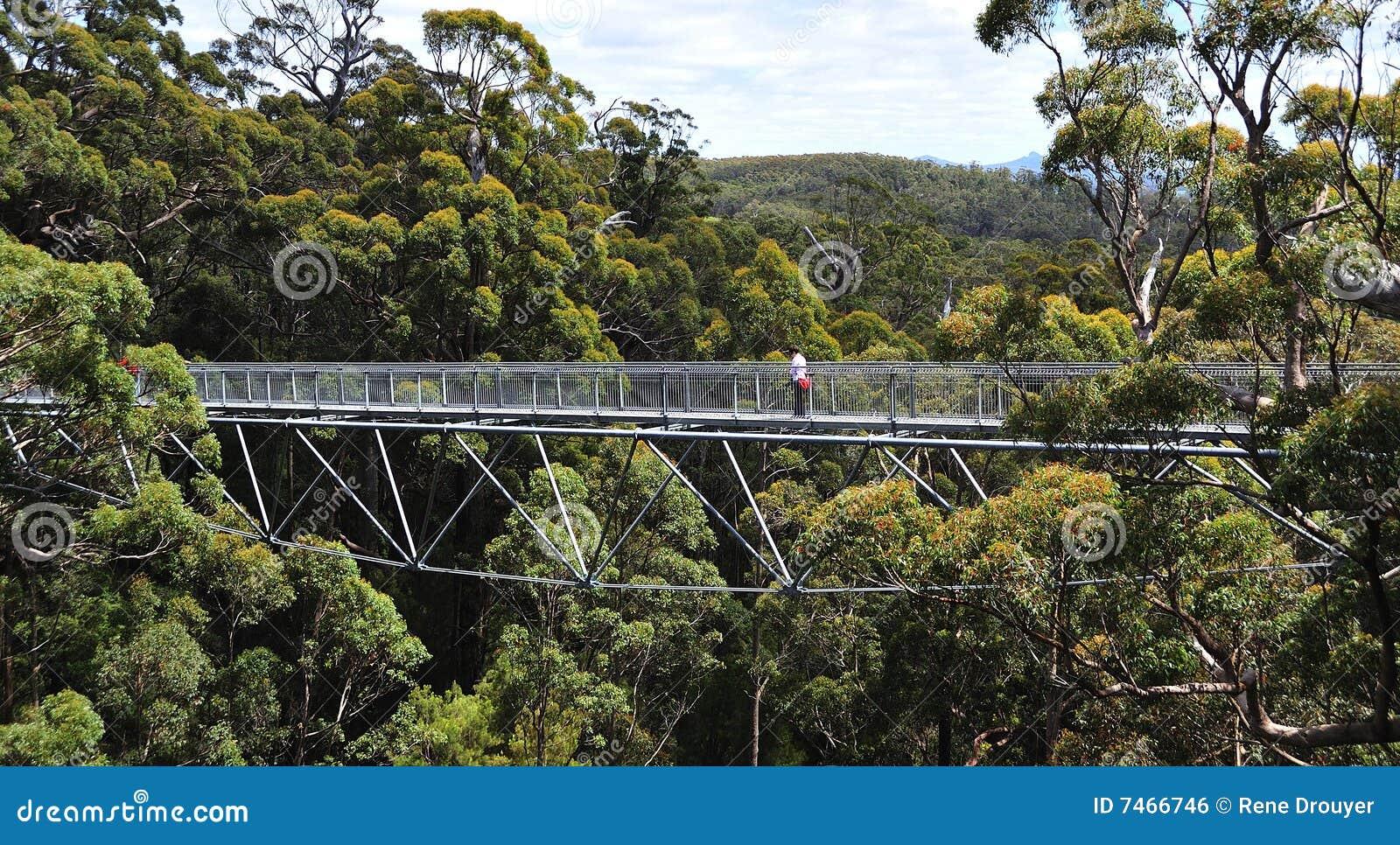 De reuzeboom van de Tinteling van westelijk Australië