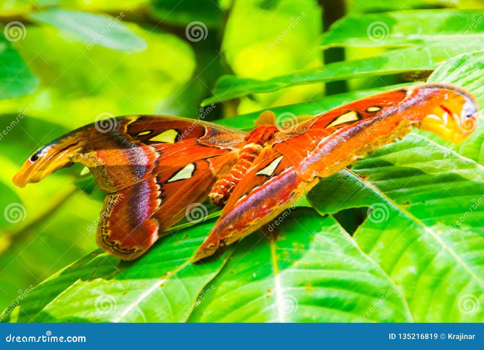 De reuzemot van de Atlasvlinder, Attacus-atlas