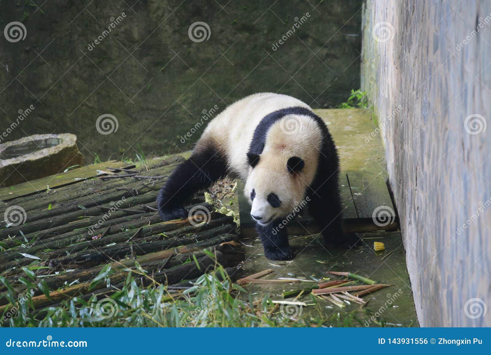 De reuzepanda behoort tot de enige zoogdieren van de carnivoren, de beerfamilie, de reuzepanda subfamily en de reuzepanda E