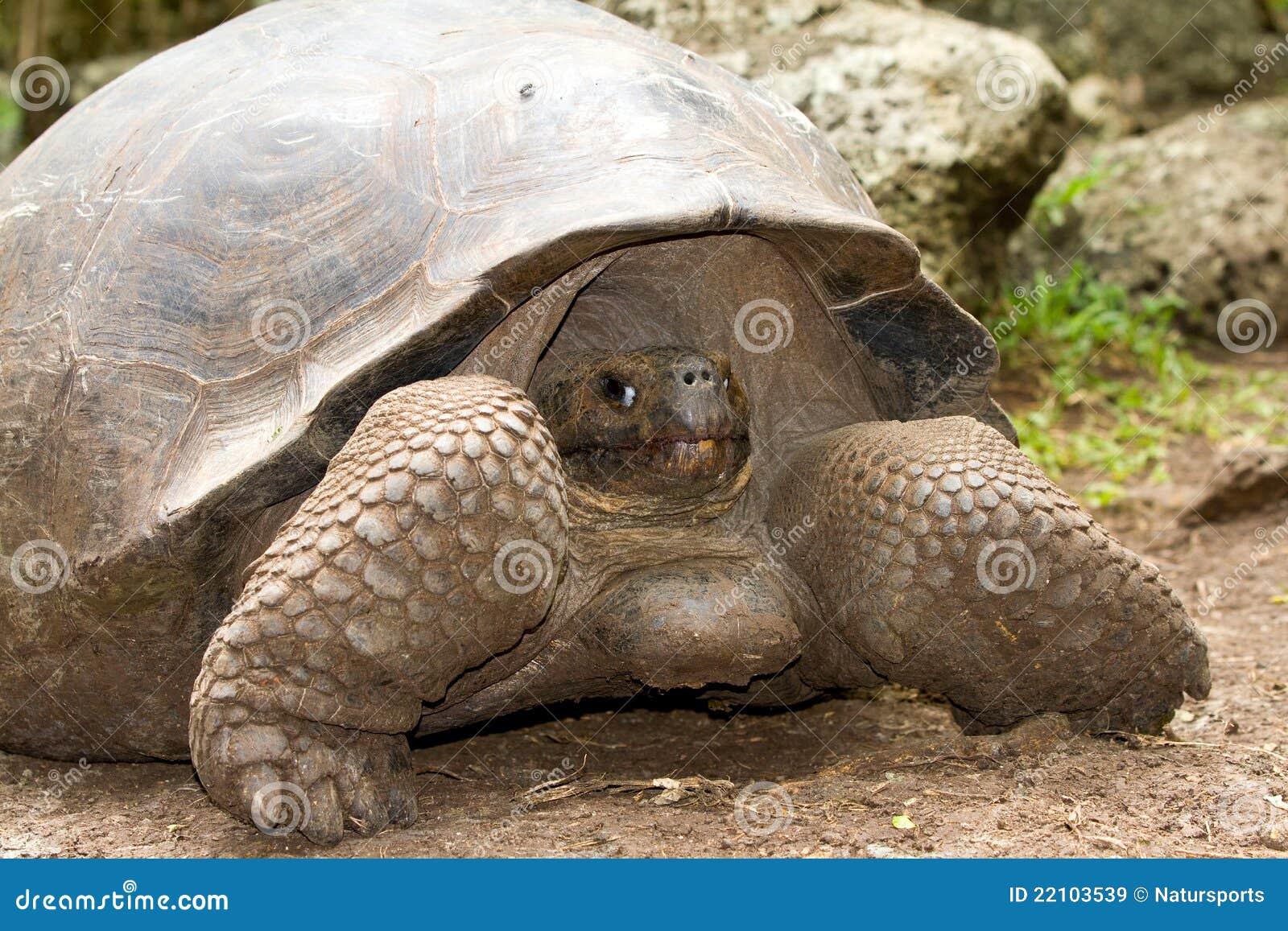 De reuzeschildpad van de Galapagos
