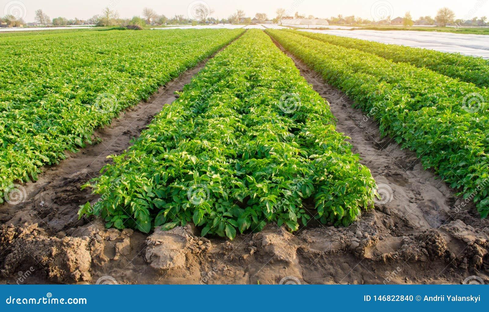 De rijen van aardappels groeien op het landbouwbedrijf Het kweken van organische groenten op het gebied farming Landbouw Selectie