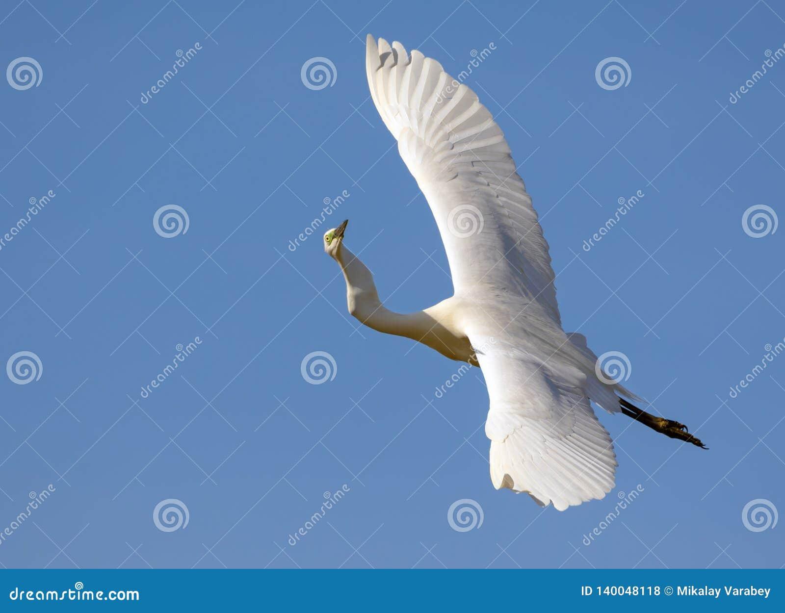 De rijpe Great White-Aigrette vliegt met volledig uitgerekte vleugels van hierboven en wierdly vastgelopen hals