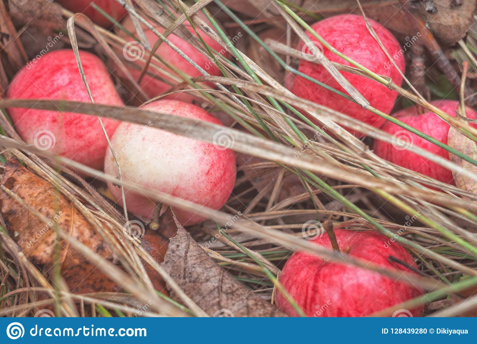 De rijpe rode appelen op de achtergrond van de herfstgebladerte liggen in de rustieke tuin Fruitoogst in aard in de boomgaard van