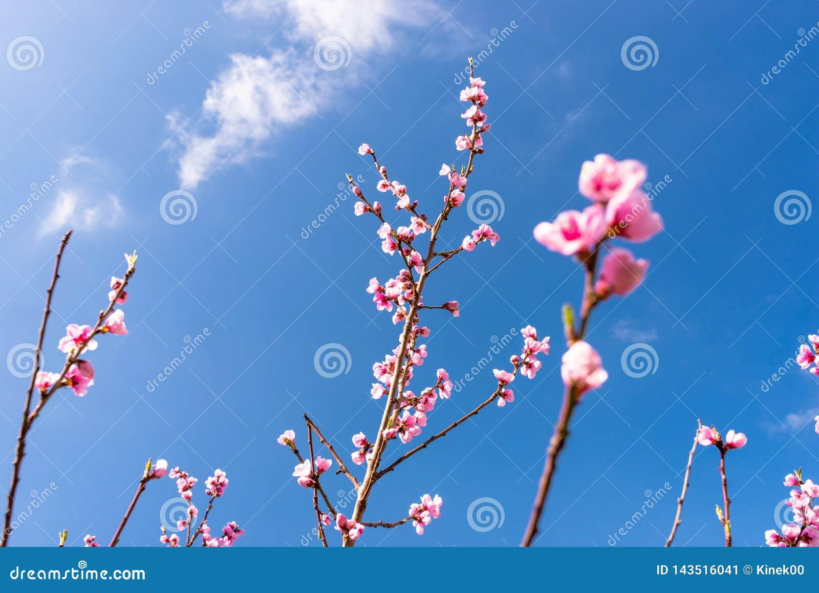 De rijpende kers komt op een boom tot bloei tegen de achtergrond van een blauw, de lentehemel