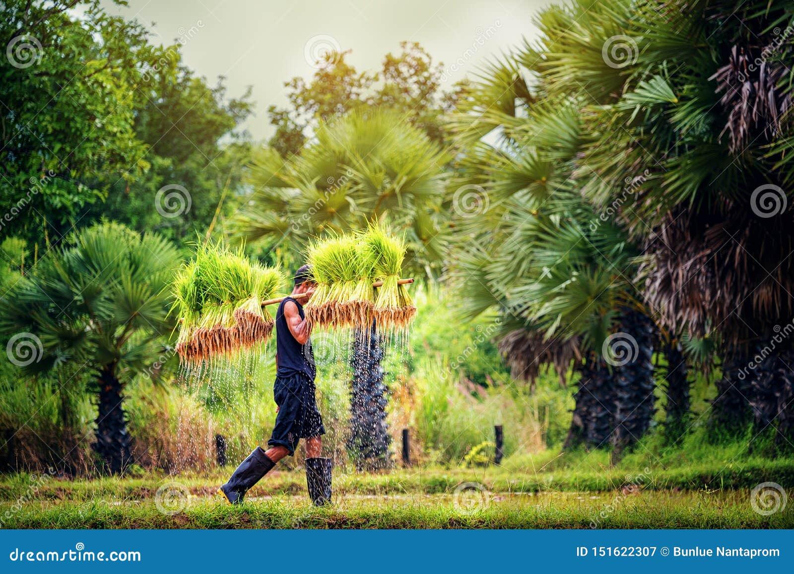 De rijst die, Landbouwers kweekt rijst in het regenachtige seizoen lokale land Thailand bewerken