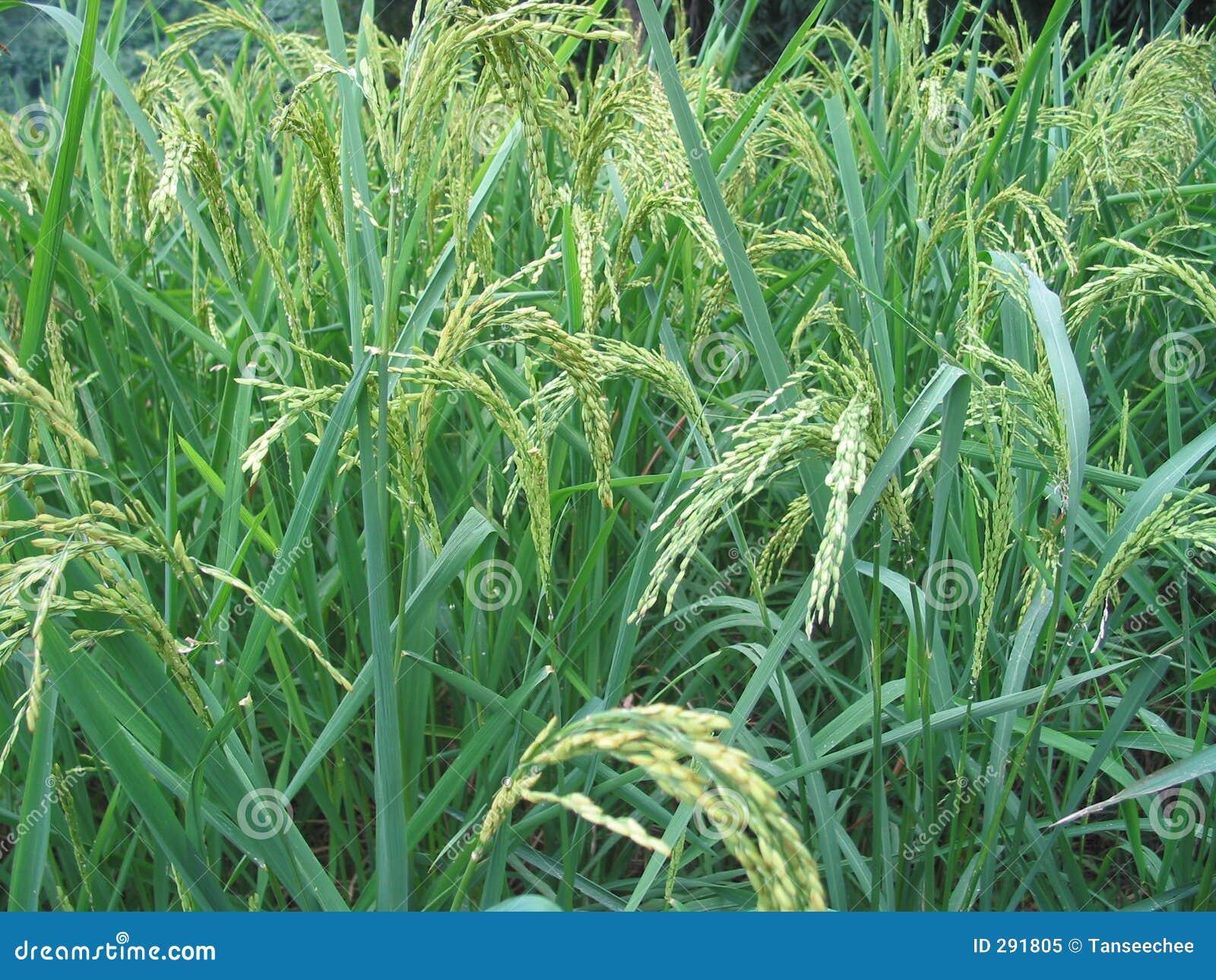 De Rijst van de heuvel