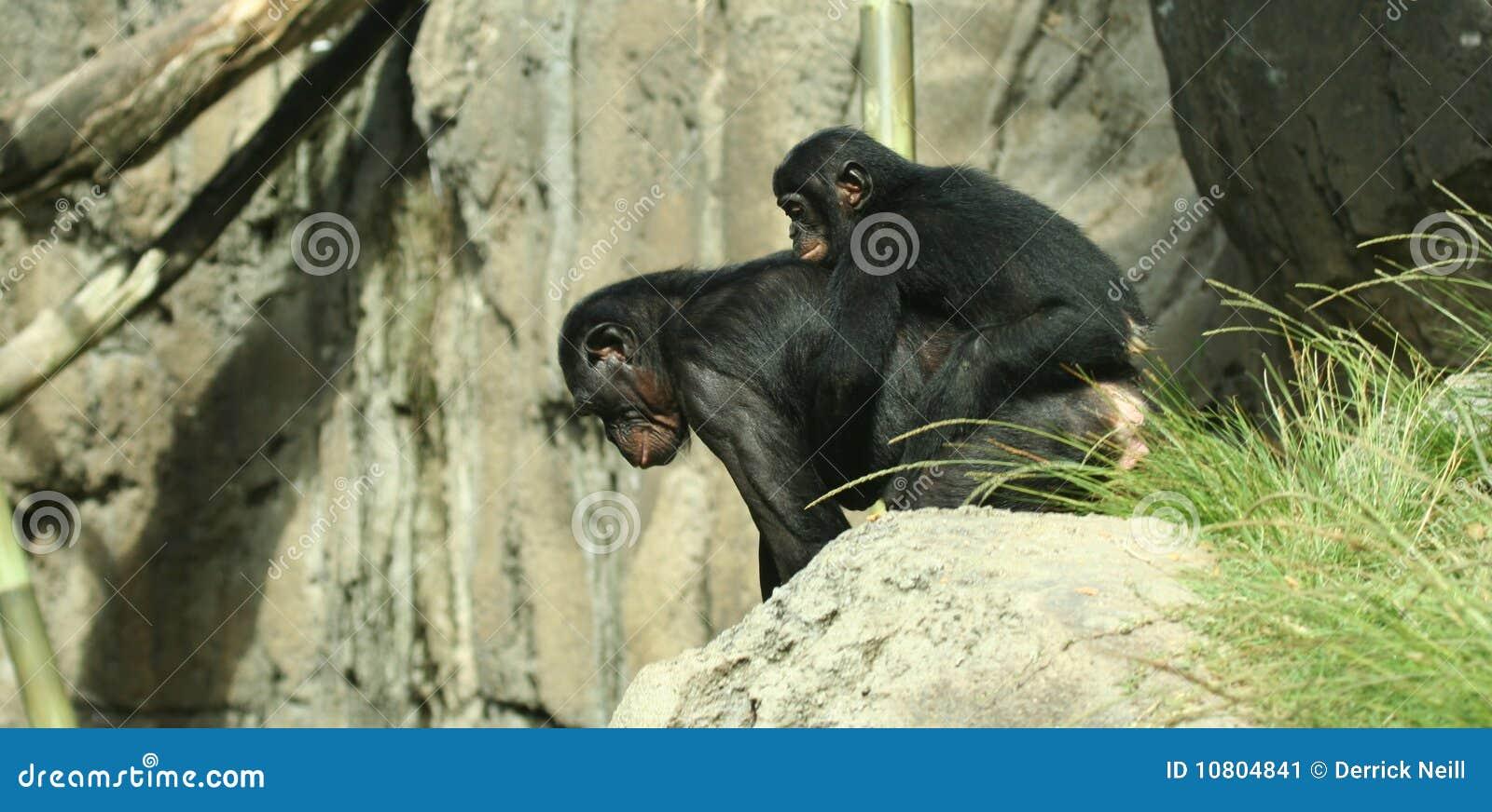 De ritten van een van de baby bonobo vervoeren per kangoeroewagen stock afbeelding afbeelding - Vervoeren van een trappenhuis ...
