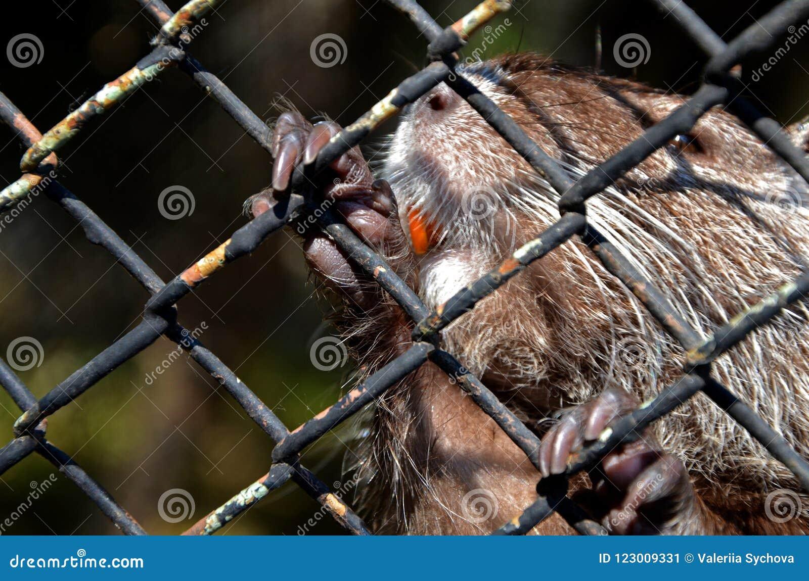 De rivierbever met oranje tanden werd gevangen door de poten achter kooi Behoud van dieren in dierentuin in Bulgarije