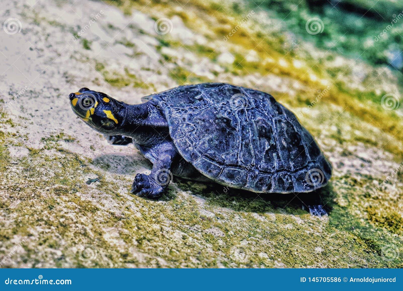 De Rivierschildpad van Amazonië