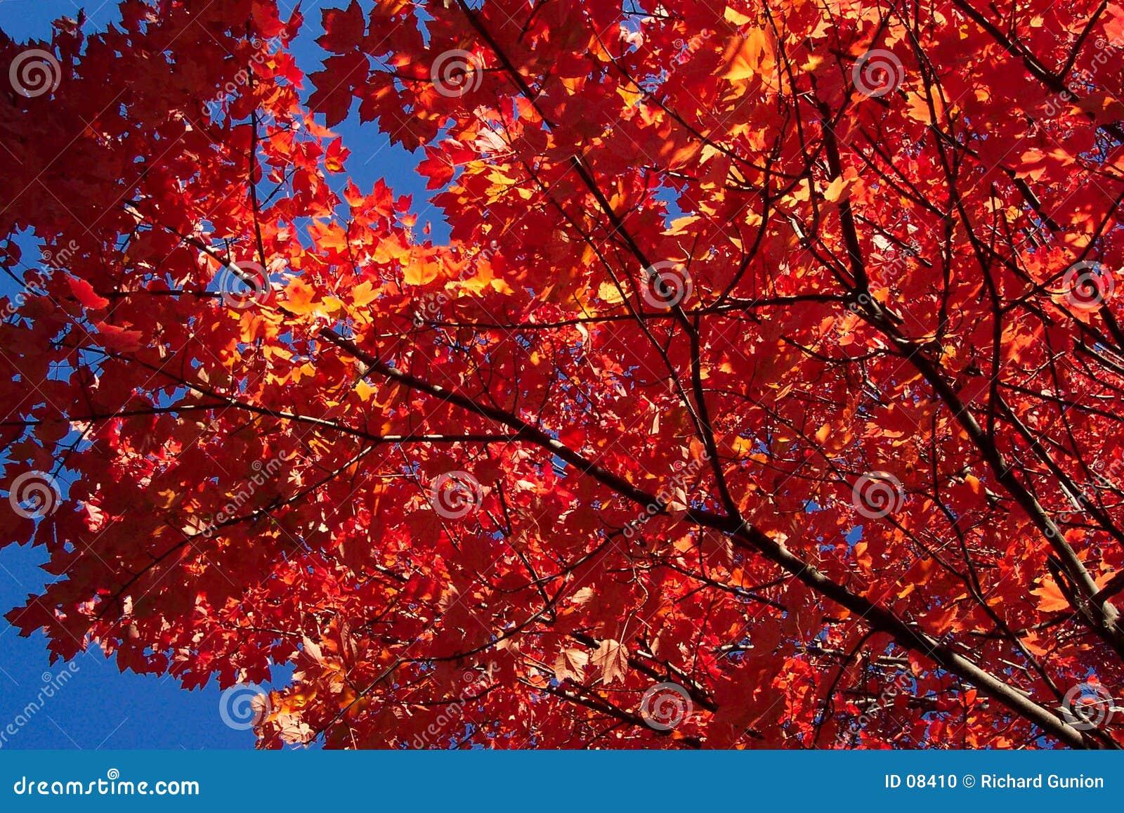 De rode Bladeren van de Esdoorn