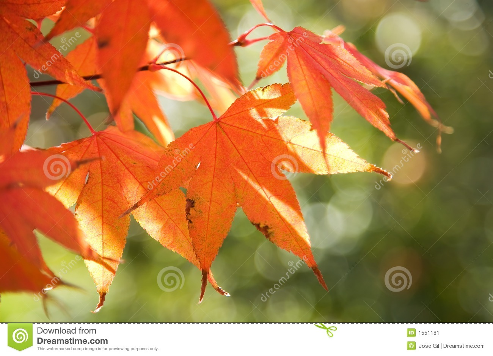 De Rode Bladeren Van De Herfst Op Boom Stock Afbeelding