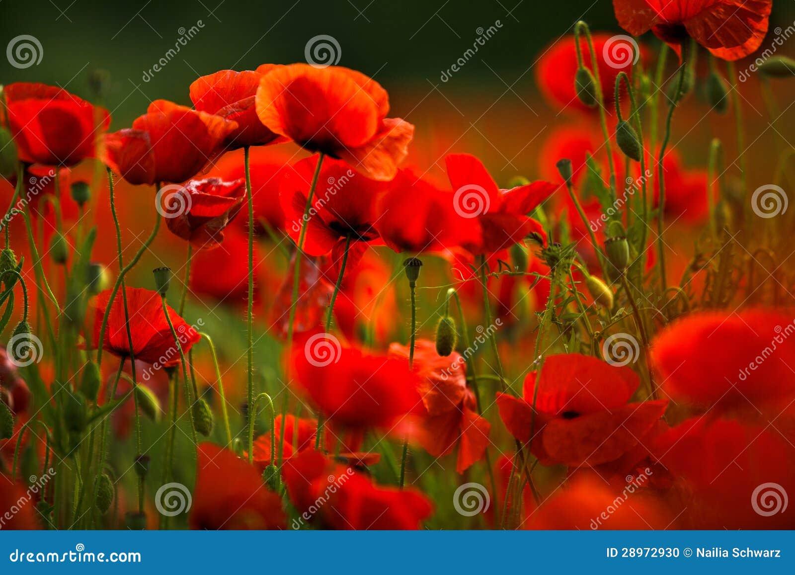 De rode Bloemen van de Papaver