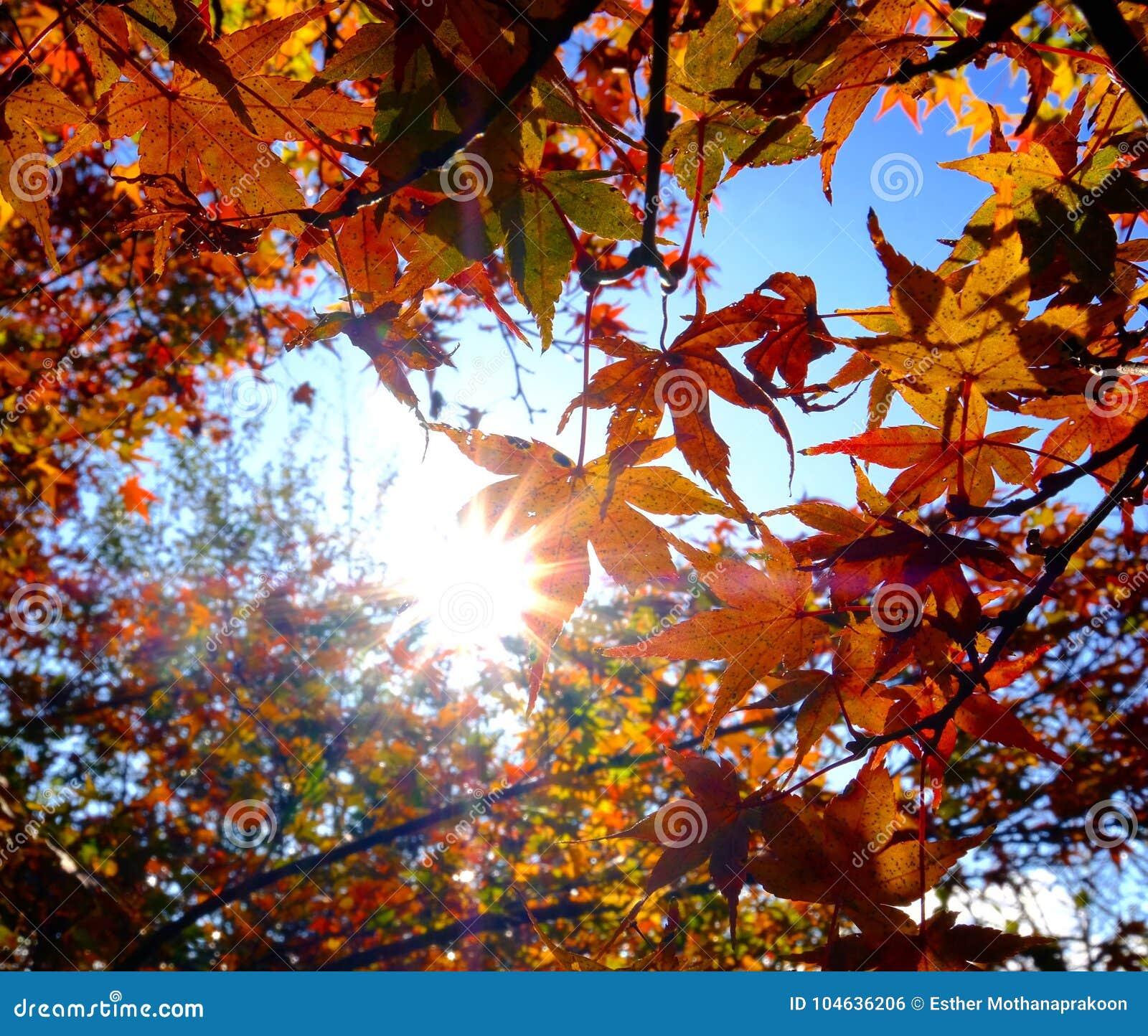 Download De Rode Esdoorn Doorbladert Onder Zonneschijn Stock Foto - Afbeelding bestaande uit licht, mooi: 104636206
