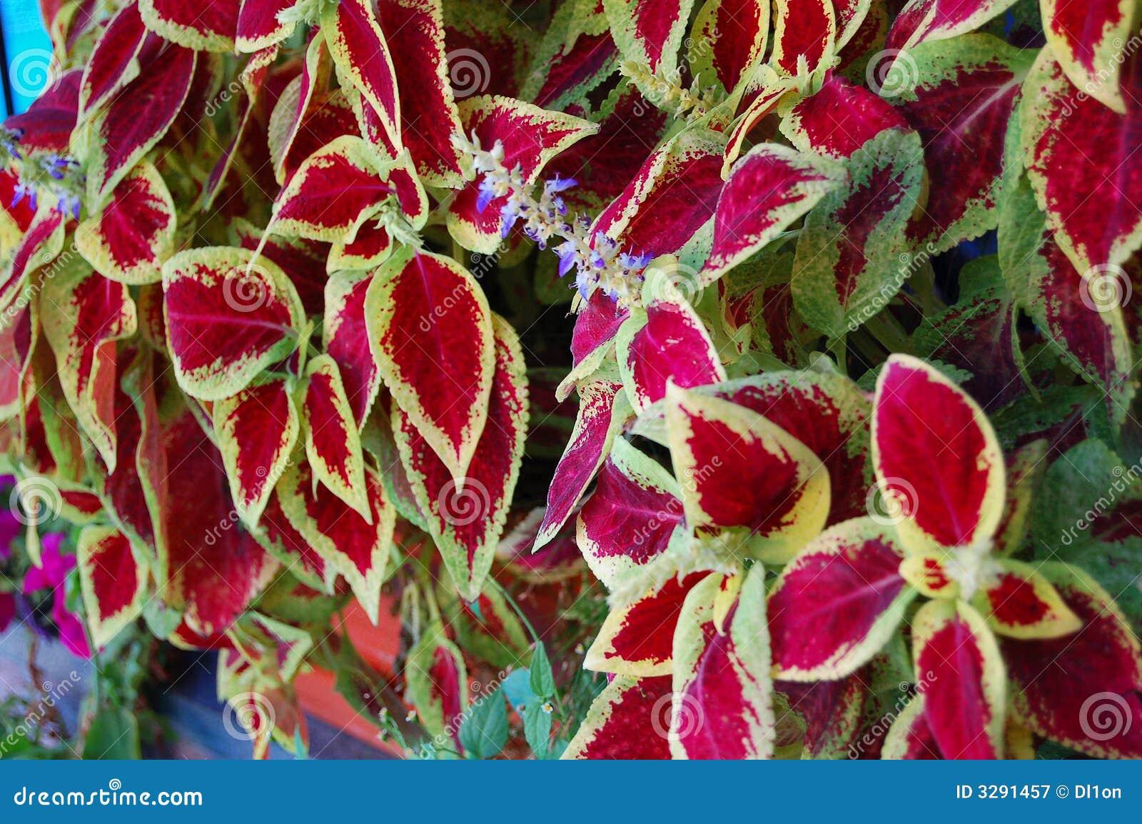 De rode Groene Textuur van Bladeren
