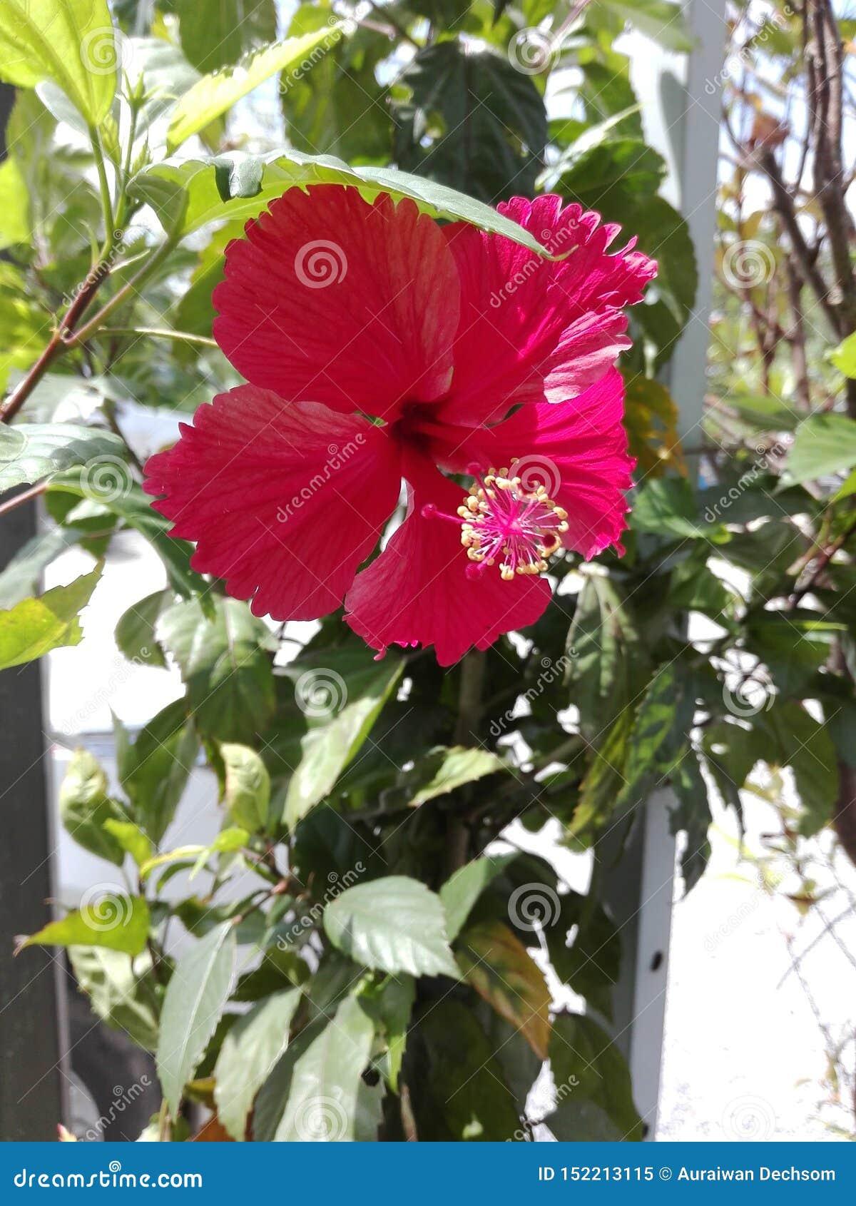 De rode hibiscusbloem is bloeiend