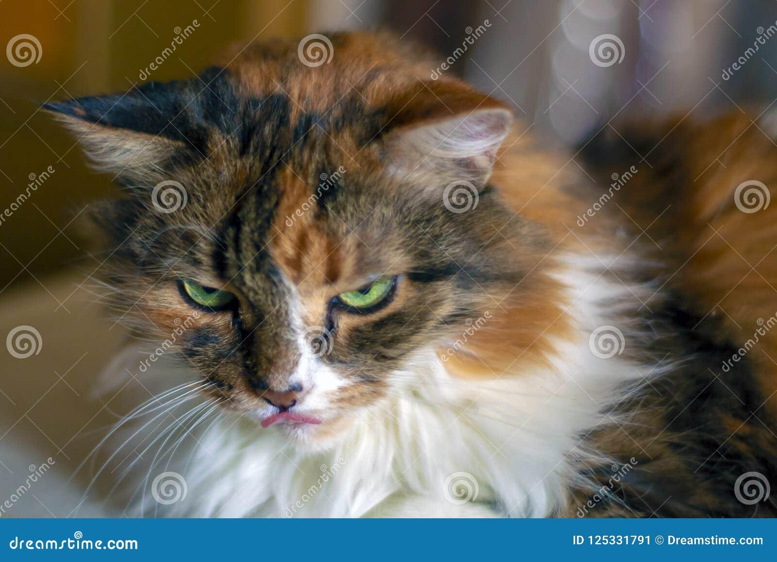 De rode kat met groene ogen met witte en zwarte vlekken sluit omhoog