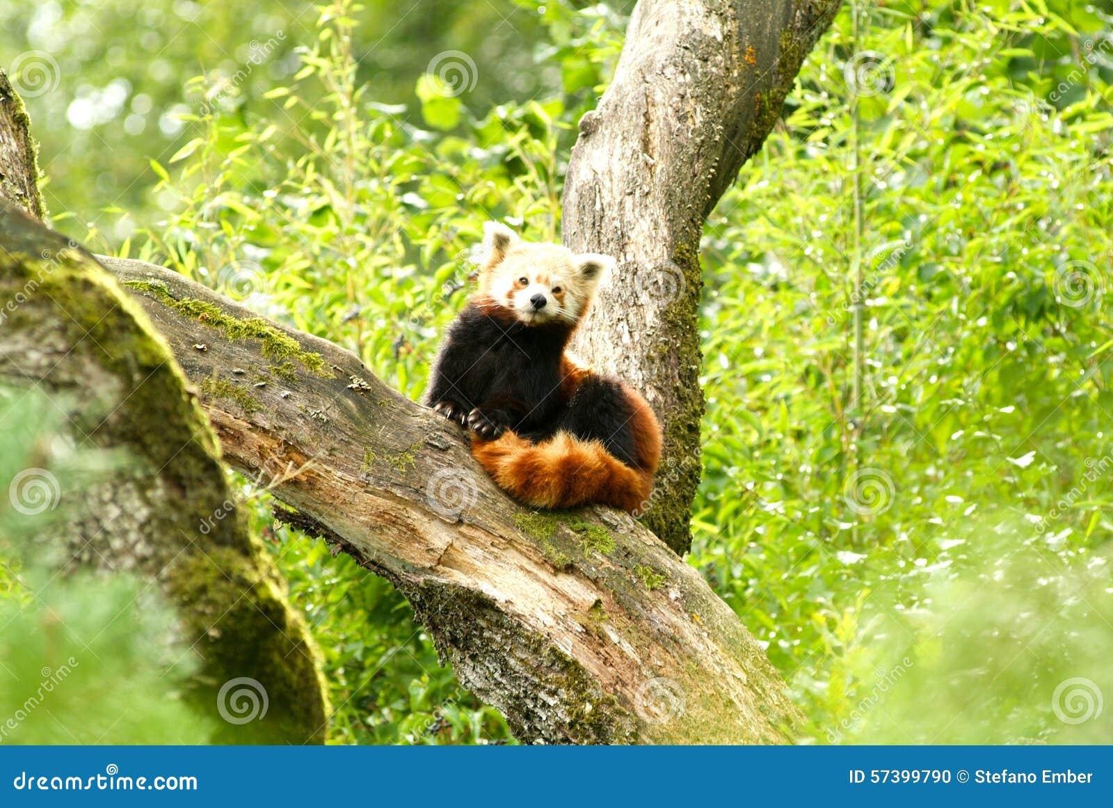 De rode panda draagt bij dierentuin van Zürich