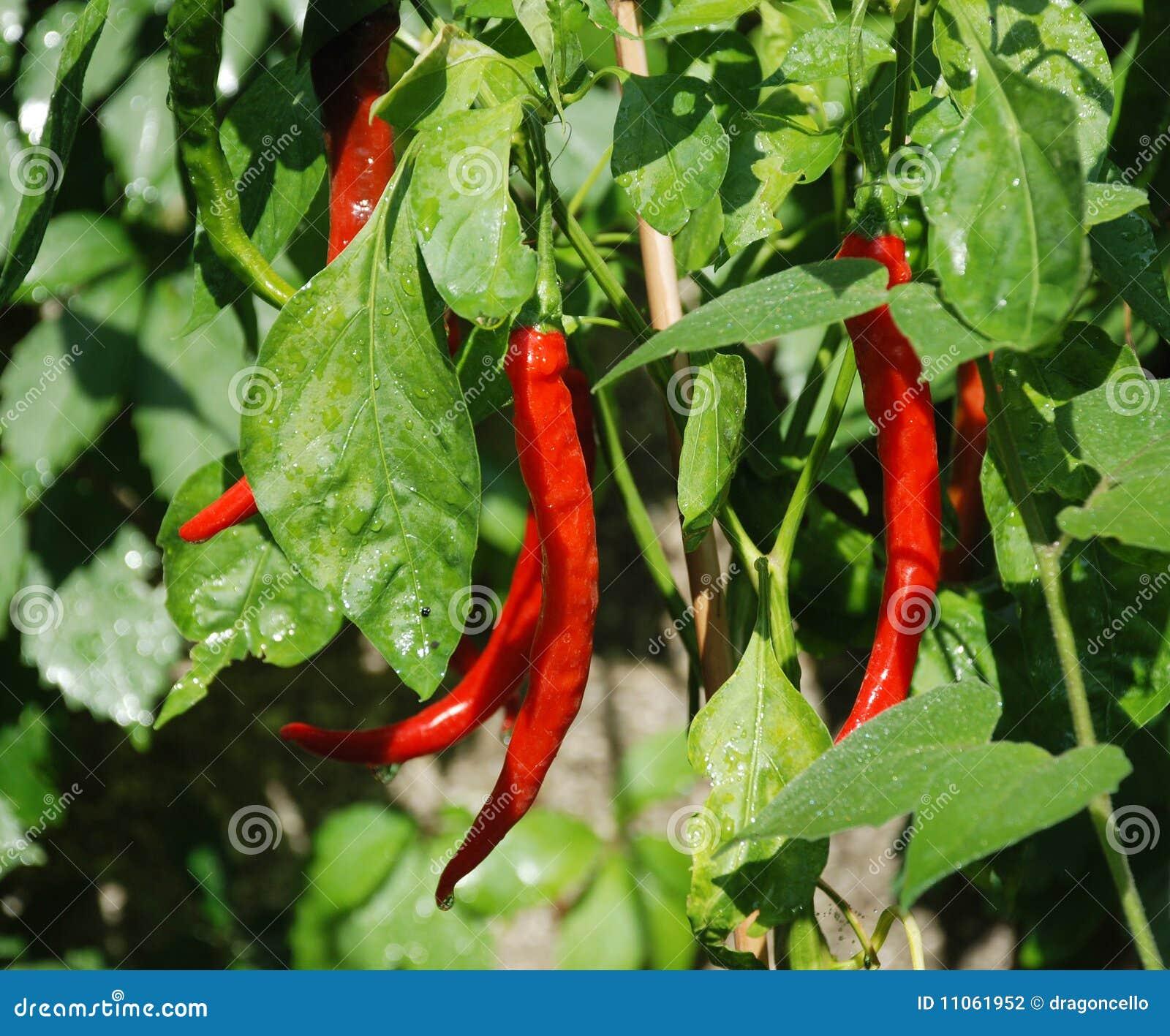 de rode peper van spaanse pepers op installatie stock foto