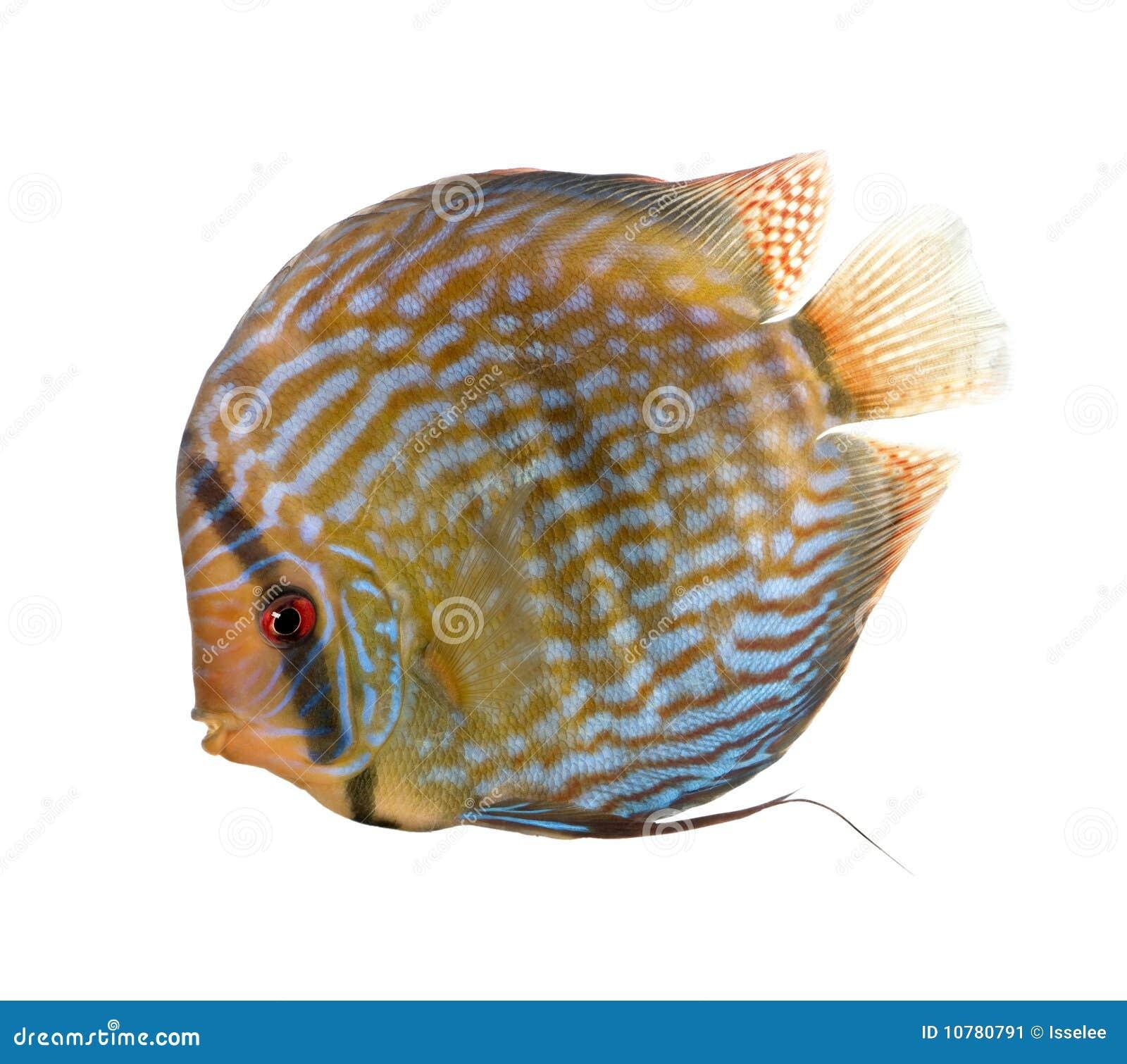 De rode Turkooise vissen van de Discus