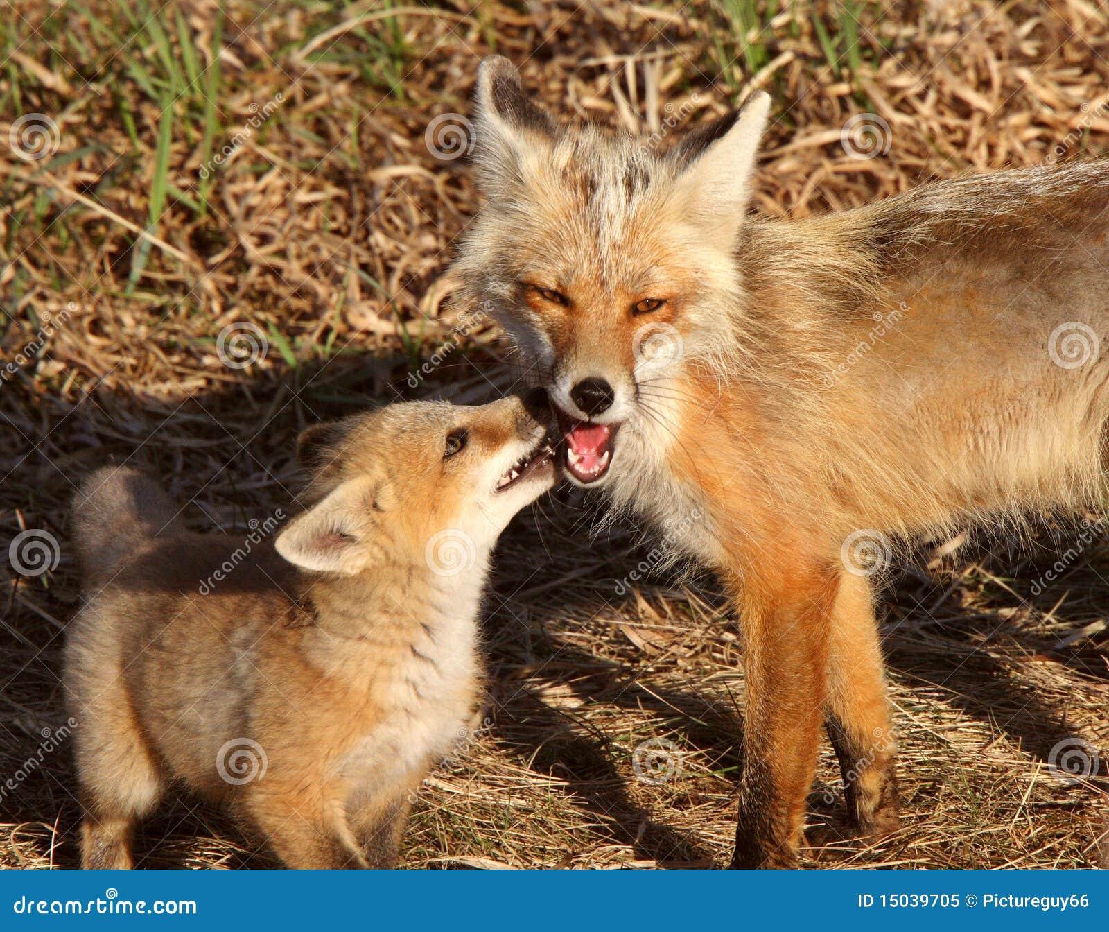 De rode vos vixen met jong op eiland hecla in manitoba stock afbeelding afbeelding 15039705 - Rode keuken met centraal eiland ...