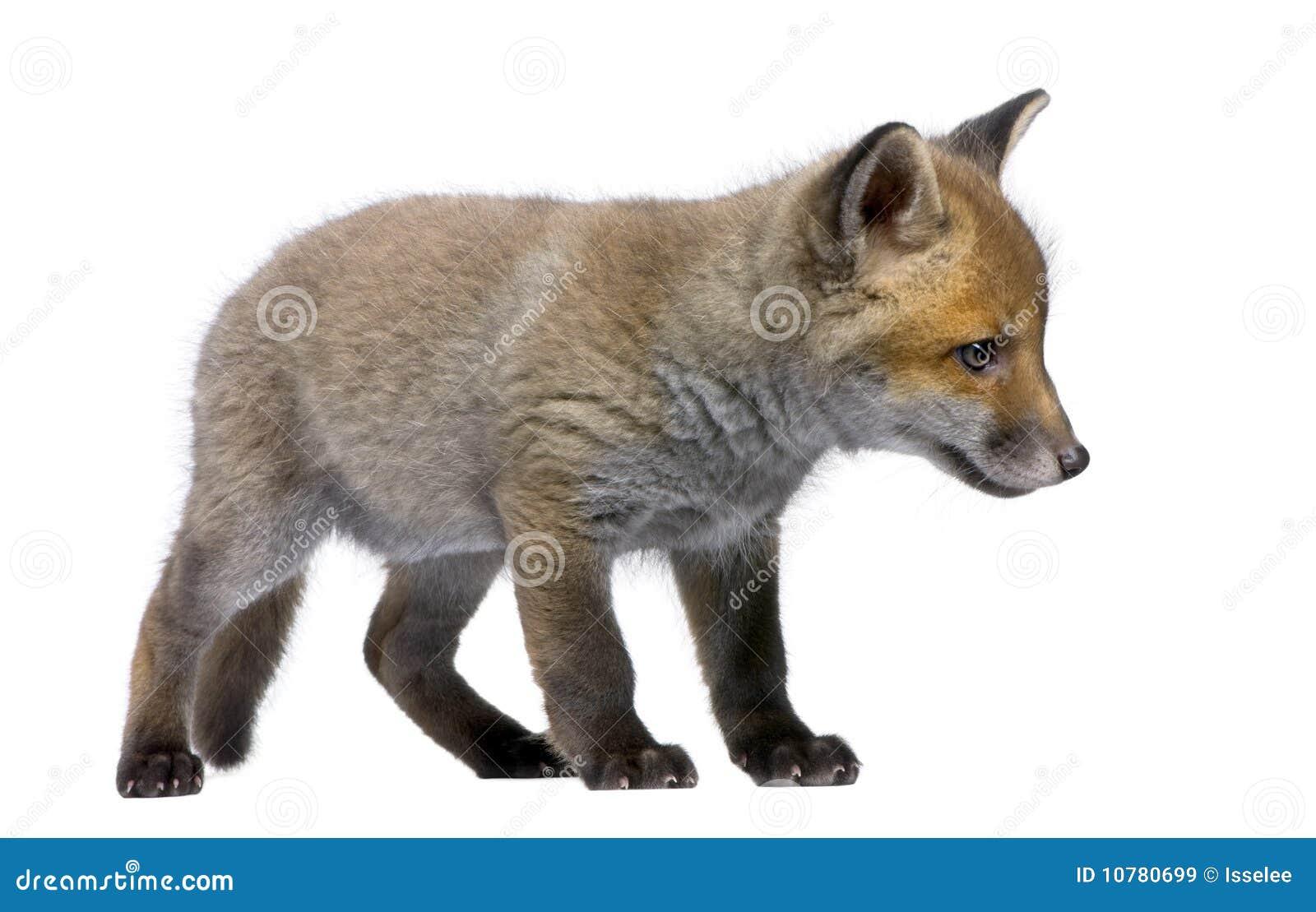 De rode Welp van de Vos, Vulpes vulpes, 6 weken oud
