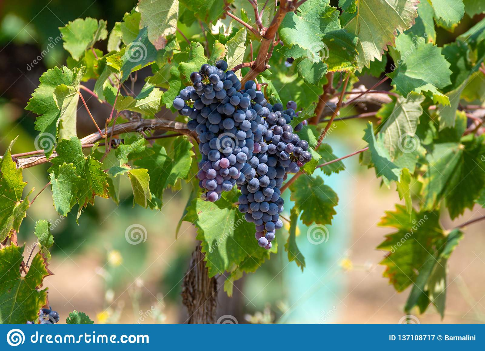 De rode wijndruiven planten, nieuwe oogst van zwarte wijndruif in zonnige dag