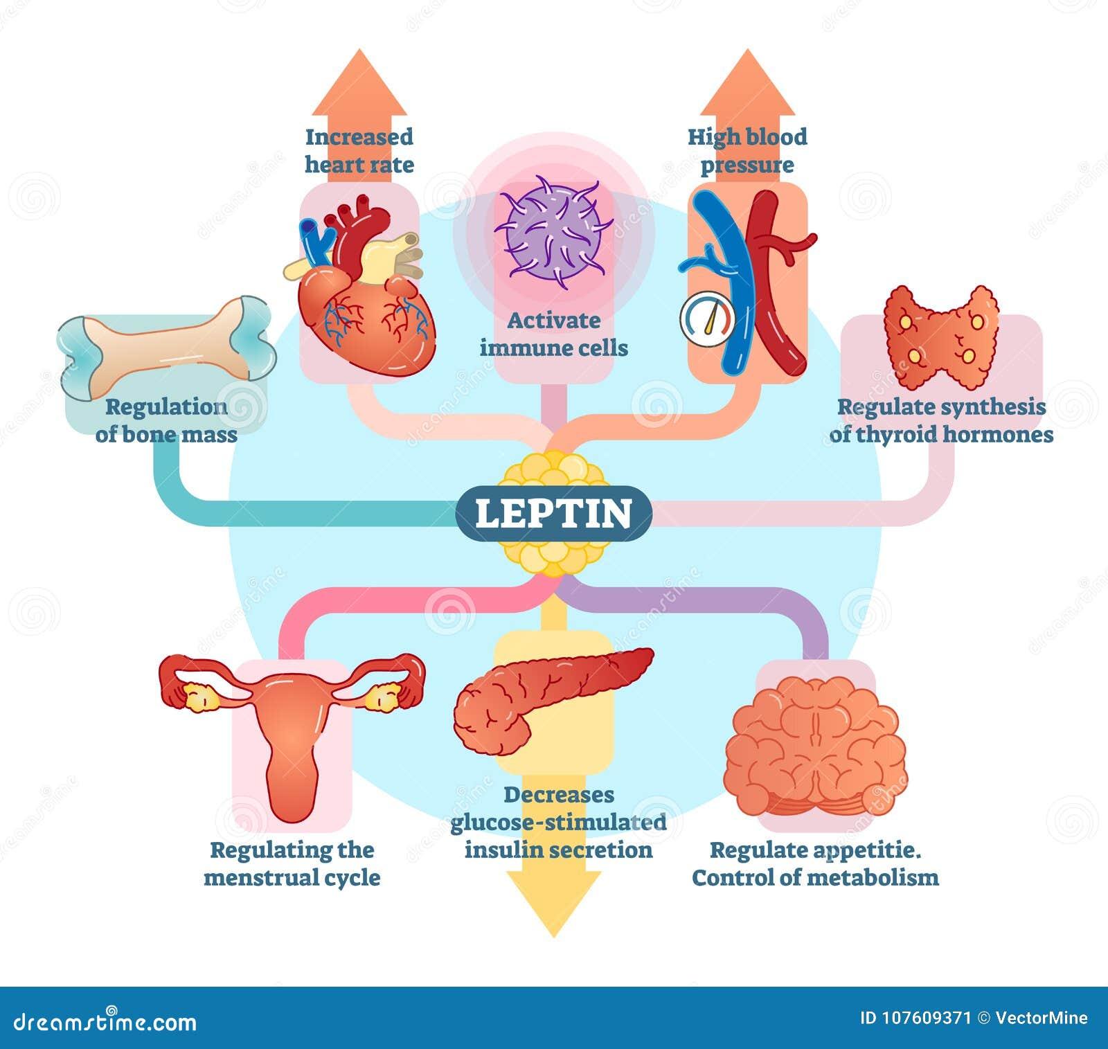 De rol van het Leptinhormoon in schematisch vectorillustratiediagram Onderwijs medische informatie